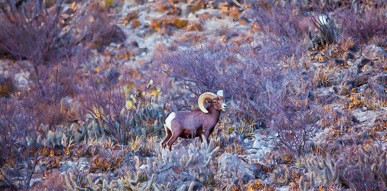 Desert-Bighorn-Sheep-ram-standing-on-hillside-1500.jpg