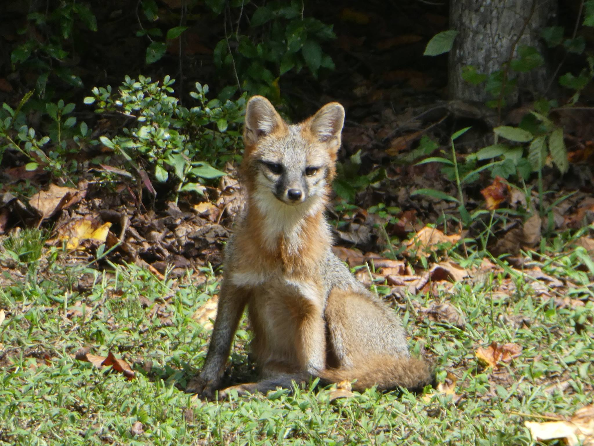 This juvenile gray fox lives near Dr. Kev's house with its sibling and mother.