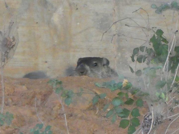 A very suspicious groundhog holds court under the Haw River bridge over US-64 near Pittsboro.