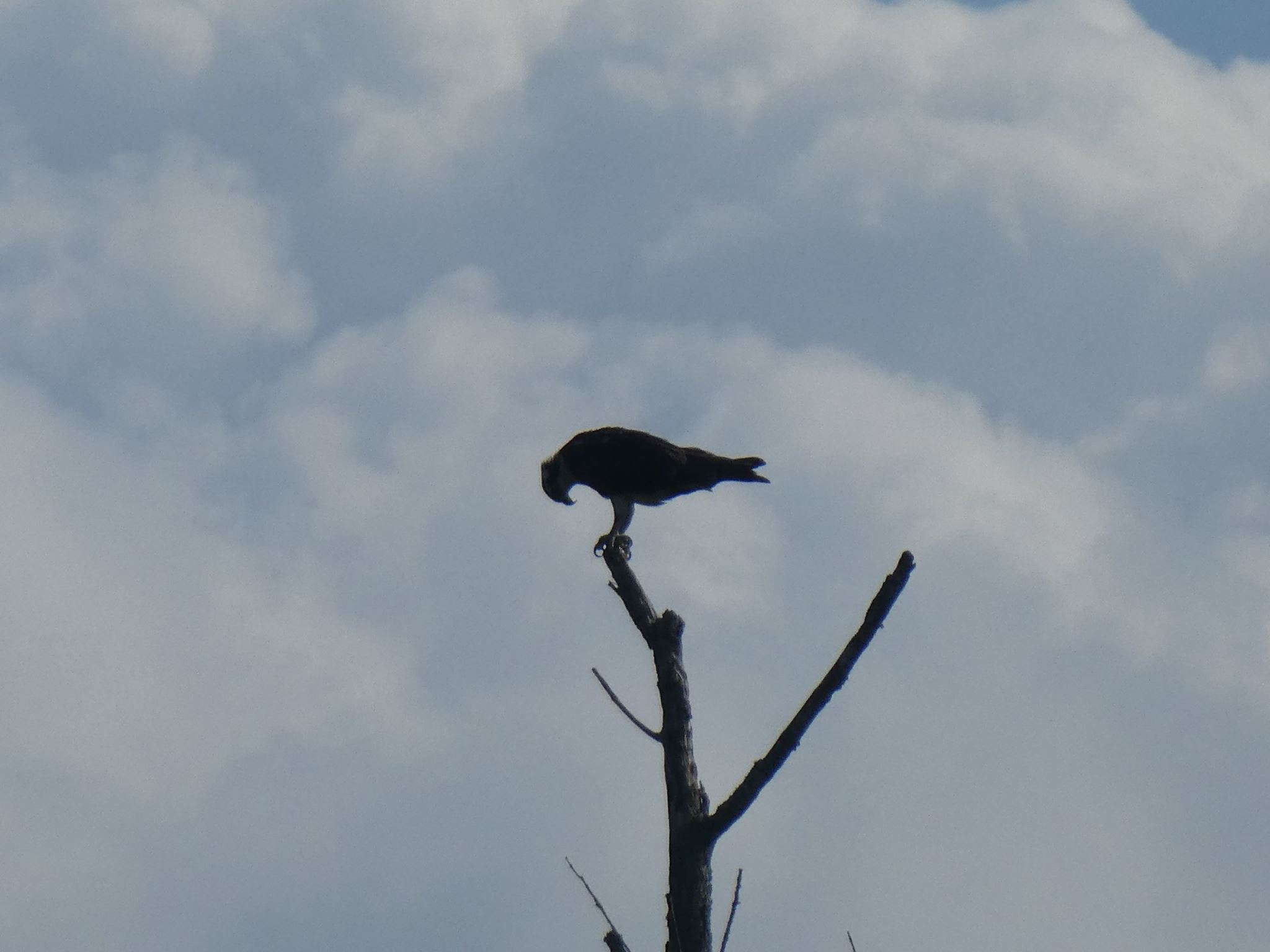 Osprey along the Haw River need to make sure their feet stay attached at all times.