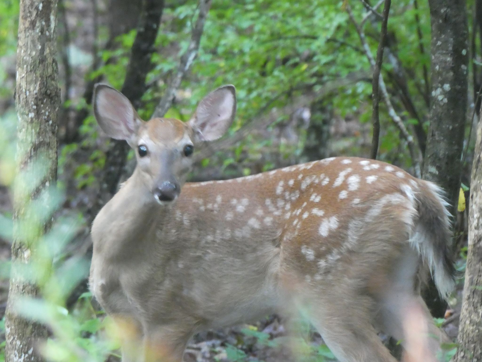 White-tailed deer are ubiquitous in Chatham County.
