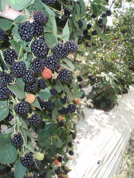 wholesale-blackberries.jpg
