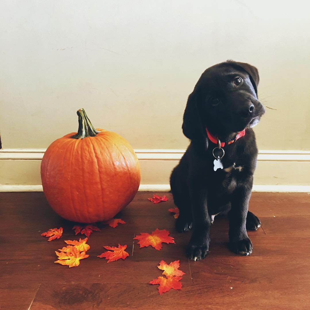 Bentley's confused as to why he can't eat the pumpkin (along with everything else in sight)
