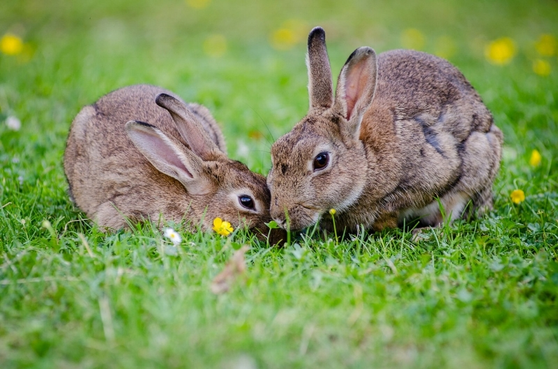 european-rabbits-bunnies-grass-wildlife.jpg
