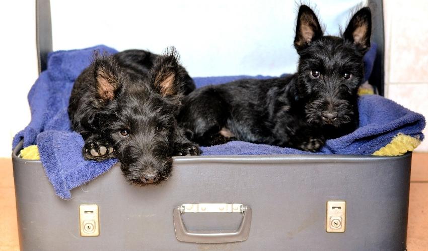 scottish-terriers-1723932_1280.jpg
