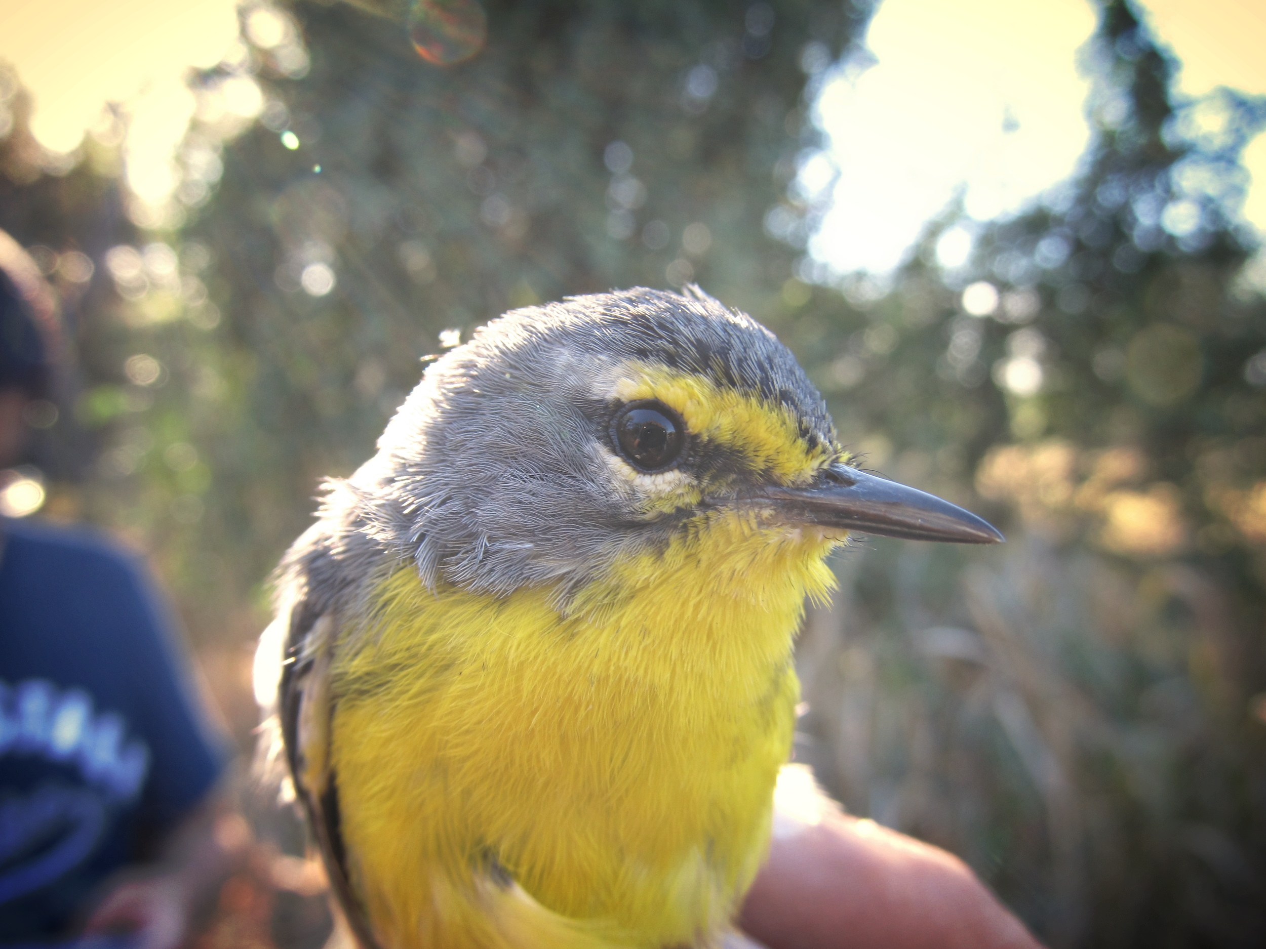 An Adelaide's warbler, held by Orlando Medina.  A unique combination of colored plastic rings on the bird's legs will help us identify him in the future.  Photograph by Orlando Medina.