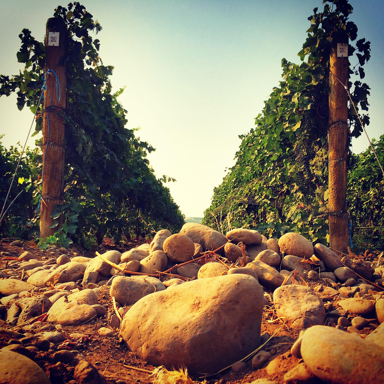 Stoney Vine Vineyard