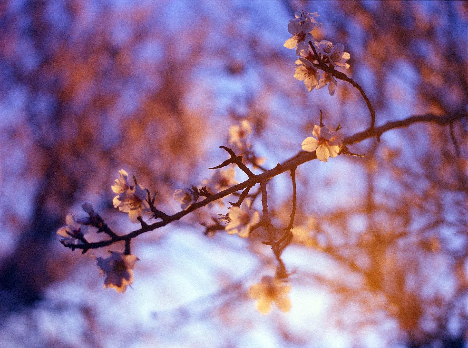 almond-blossom-1345840_1920.jpg