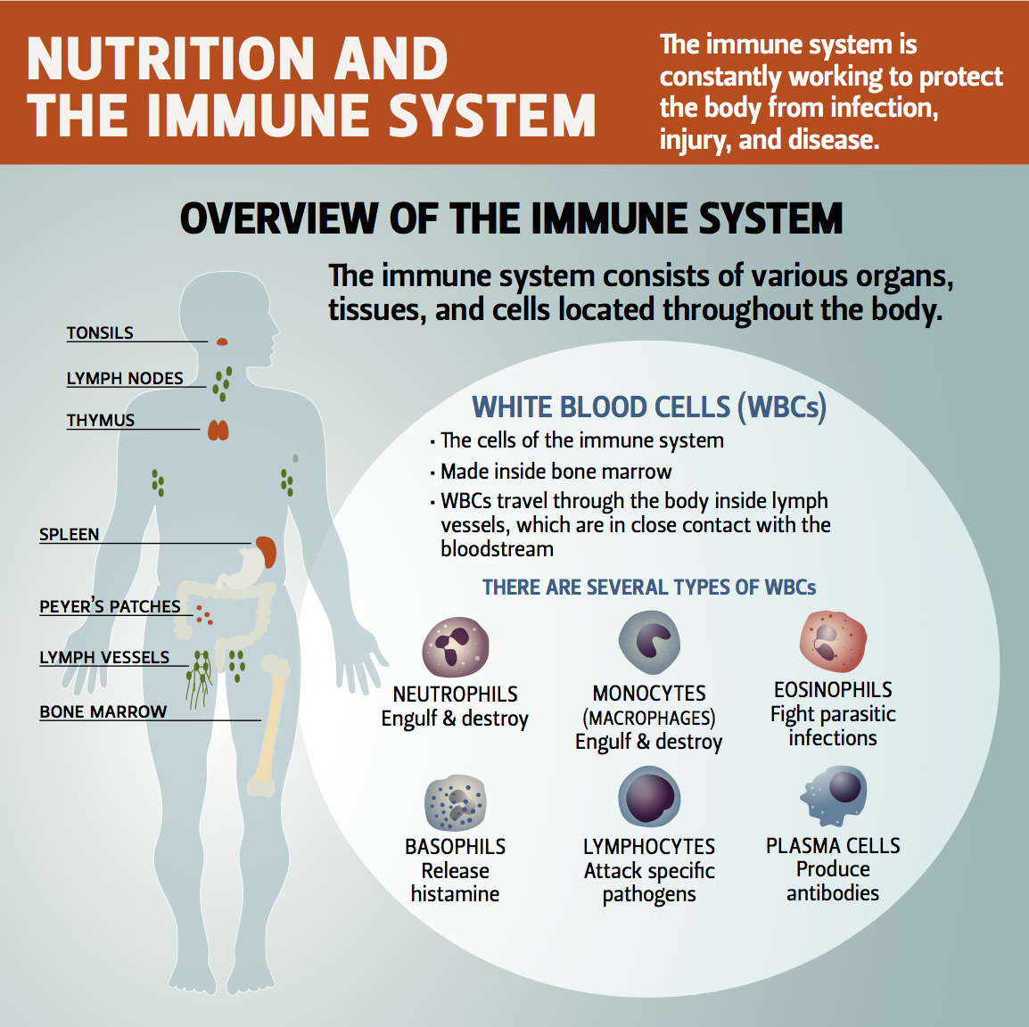 Infographic - The immune system is so complex. Making it simple is what we like to do. Here is a great infographic that gives an overview of the immune system.