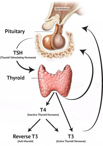Thyroid-Physiology.jpg