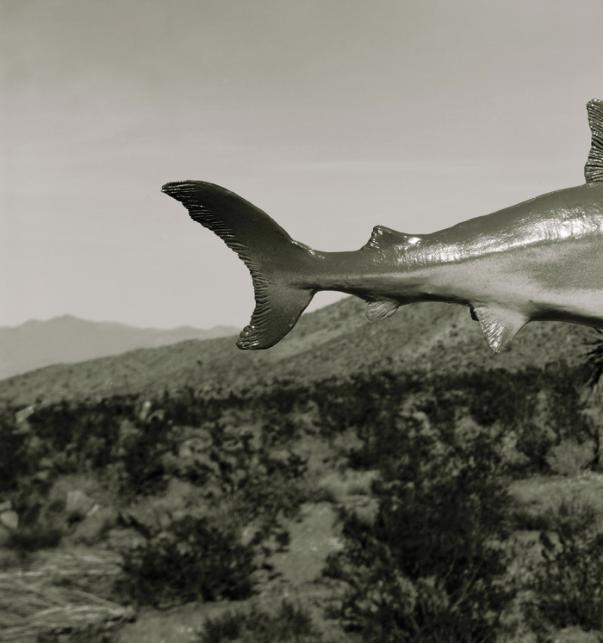 Sam Davis Shark.png