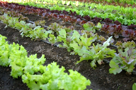 Photo Courtesy of      vegetable-gardening-made-easy.com
