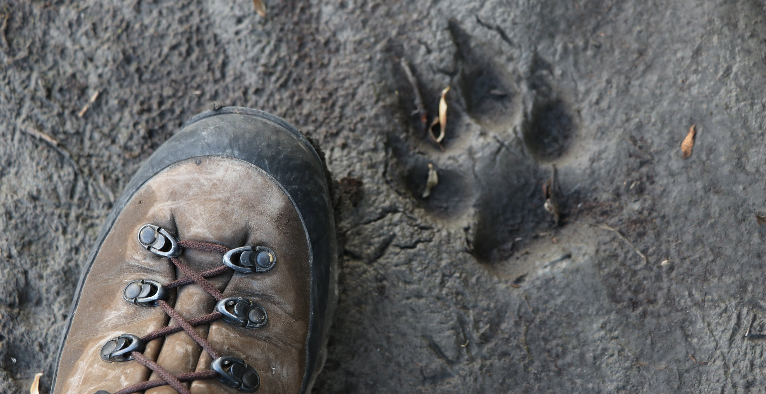 Good boots stay comfortable wet or dry. Here's my damp foot next to a wolf print.
