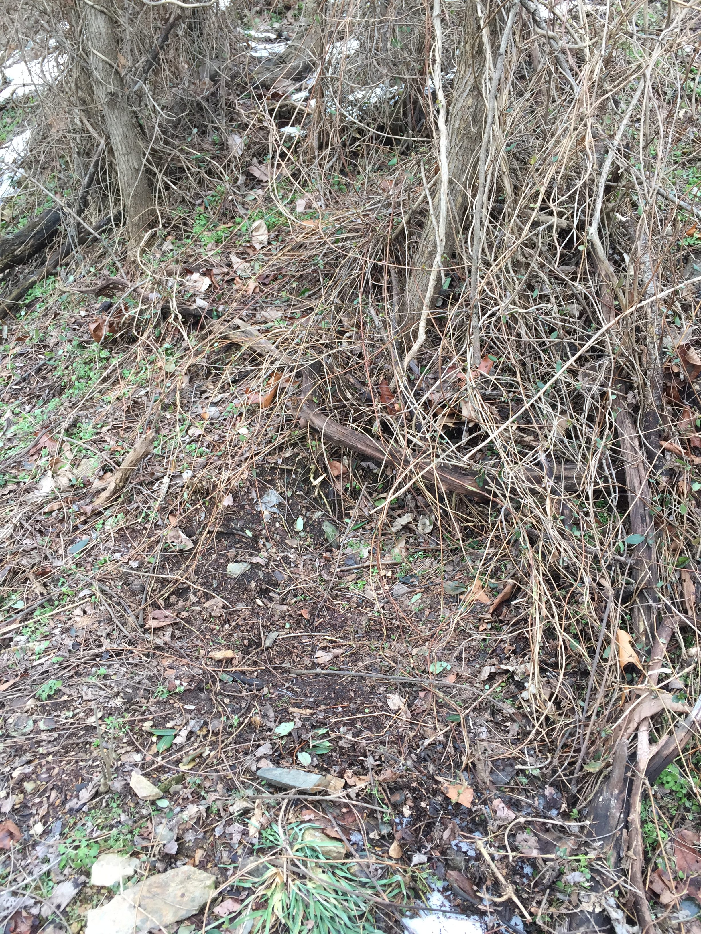 Deer will prefer to bed with back cover, like this bed with a tangle of vines and briers behind it