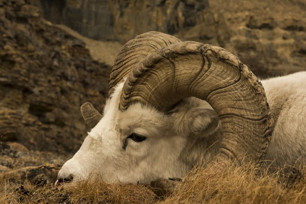 This ram is more than a set of horns.