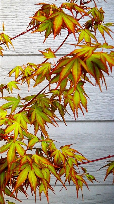 FEATURE PLANTING | The Japanese Maple 's autumn shades complemented the existing brick wall
