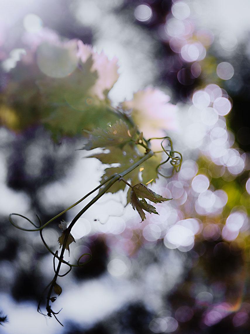 A TOAST 02 #grape #vines #sun #flare #hot #summer #sky #dusk #evening