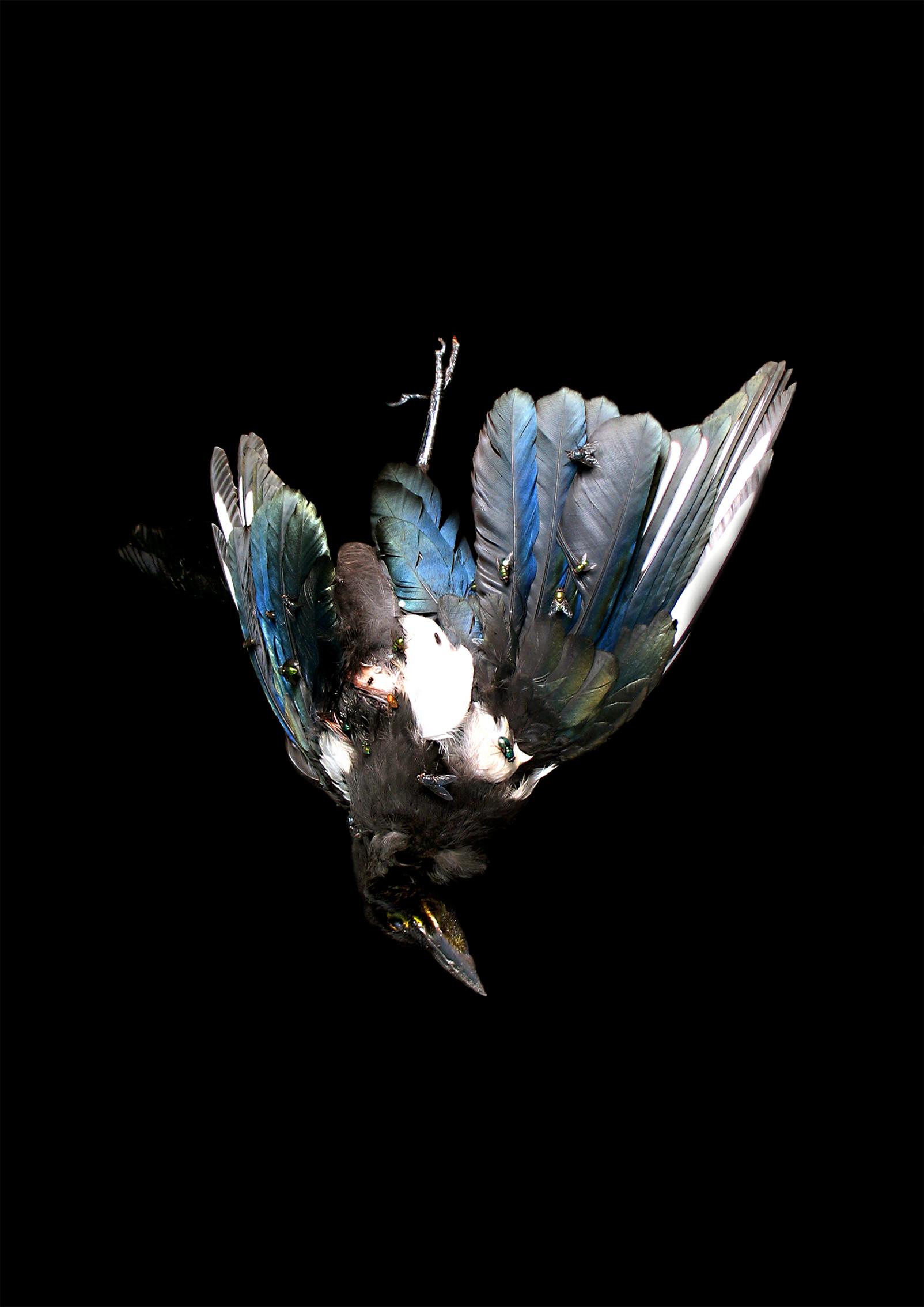 Carcass, harakka, 2015. Karoliina Paappa