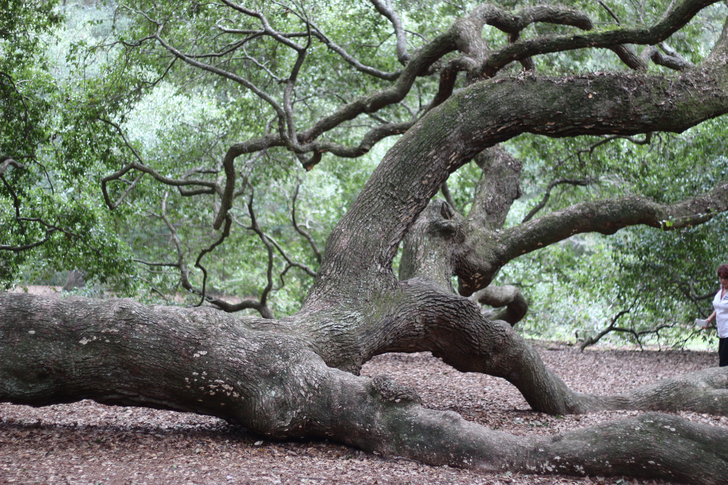 angel oak tree is a must stop on my weekend guide to charleston