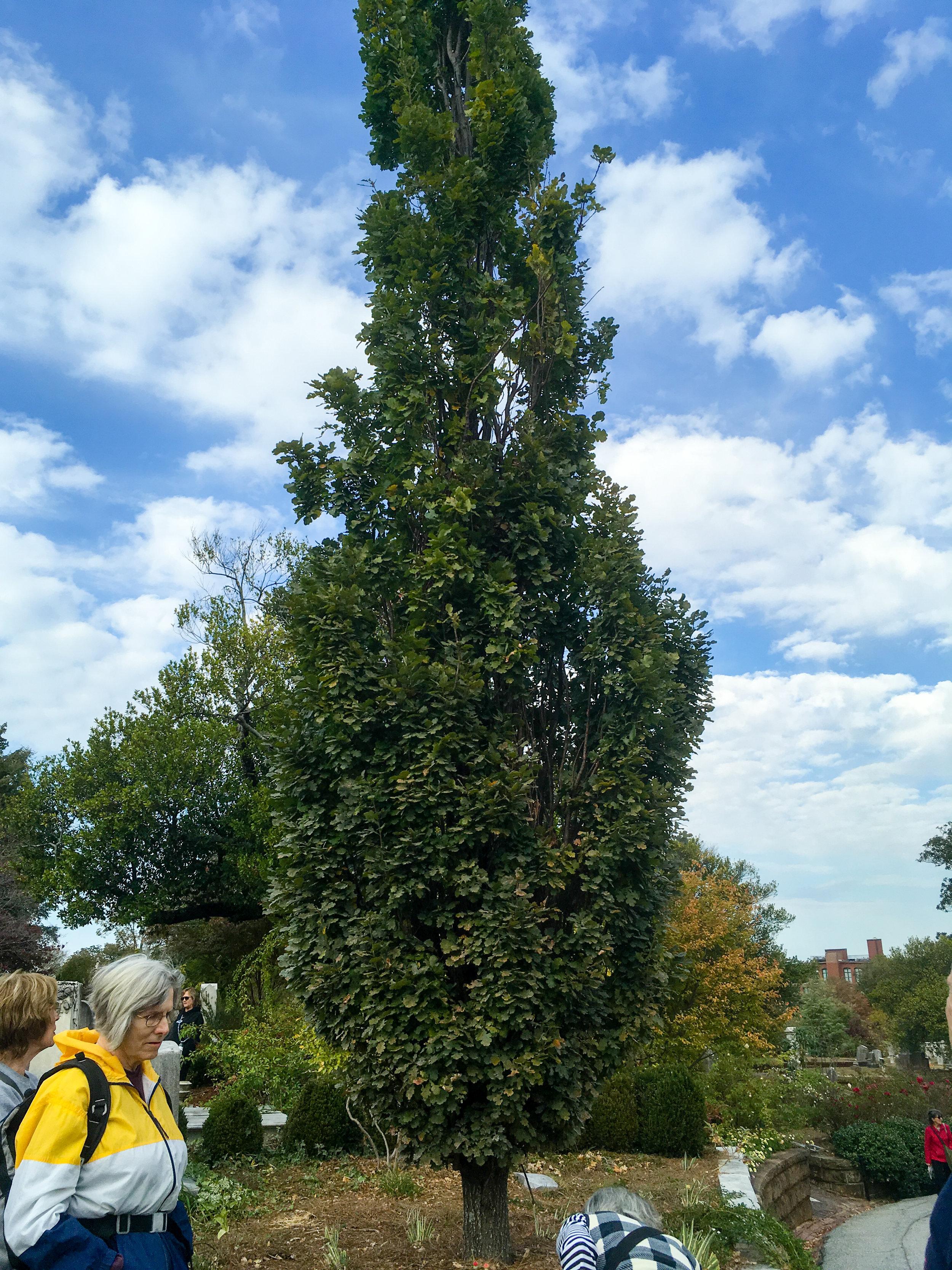 English Oak