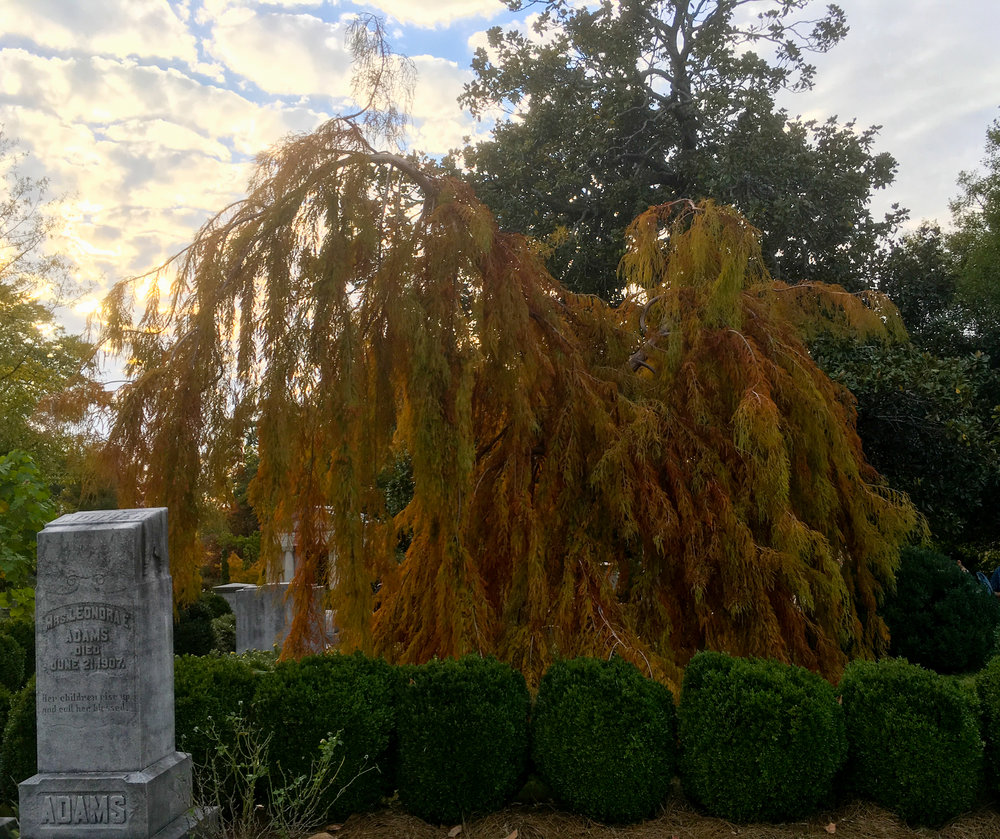 Weeping Bald Cypress