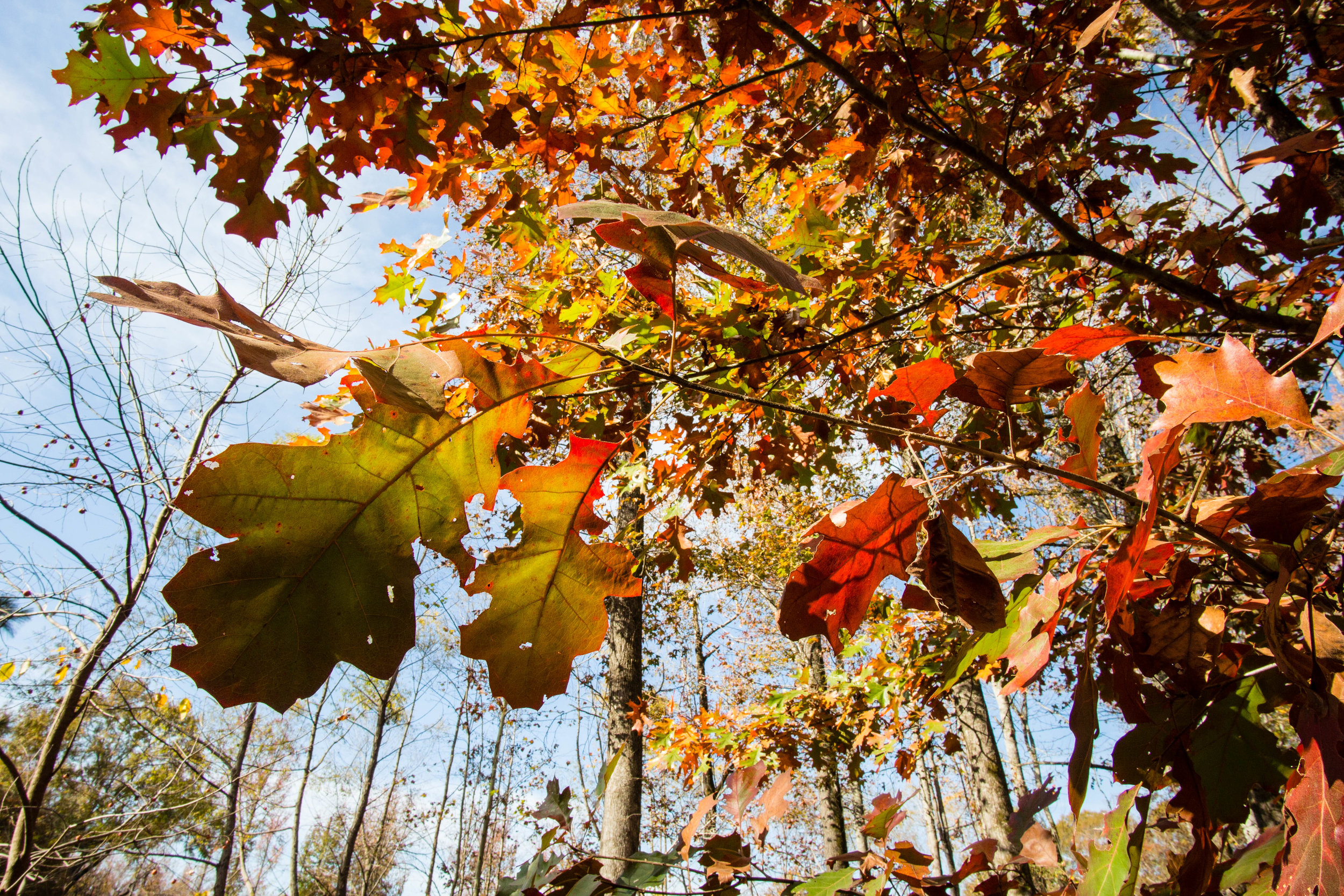 Kennesaw Mountain Southern Red Oak, November 26, 2016