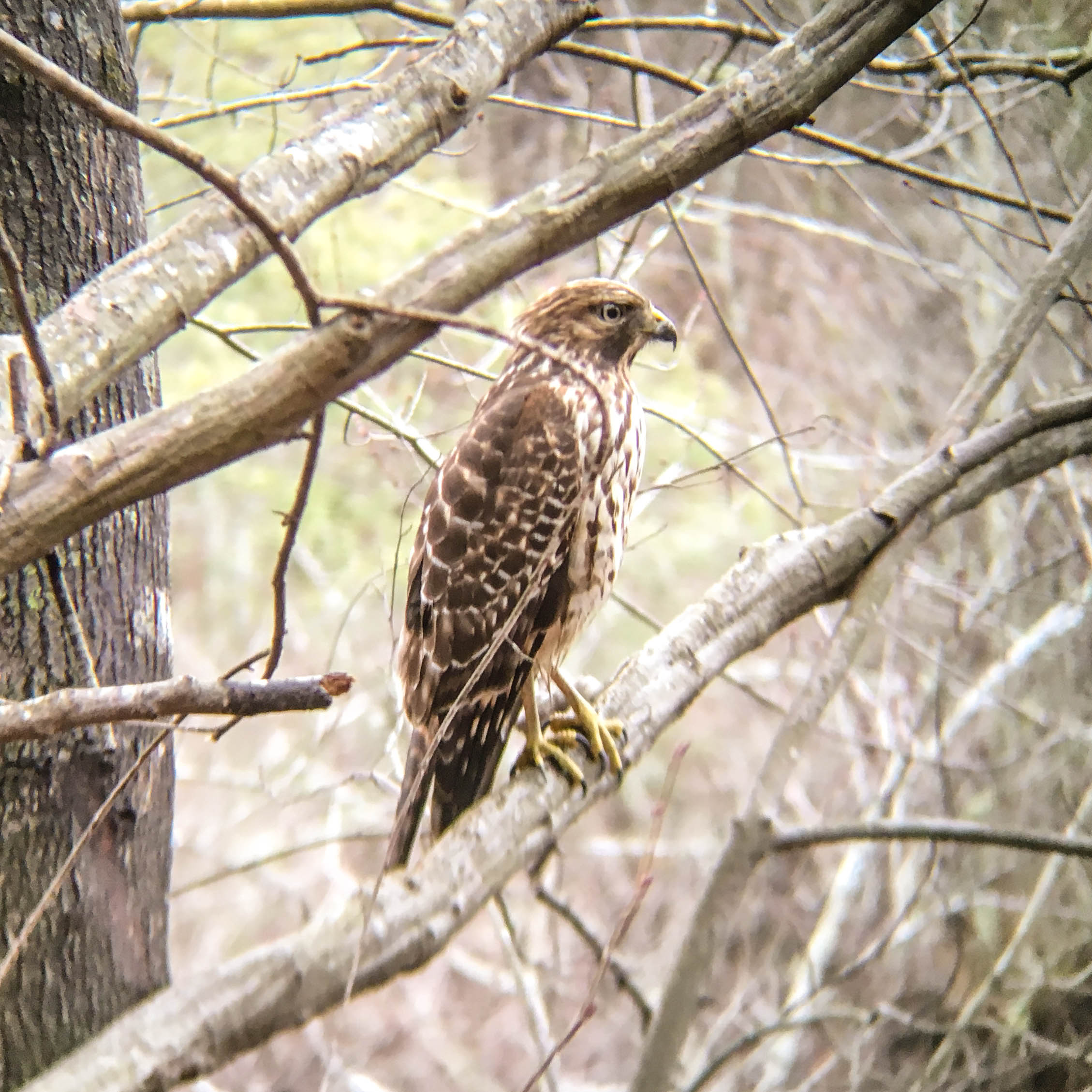 Cooper's Hawk, January 3, 2017