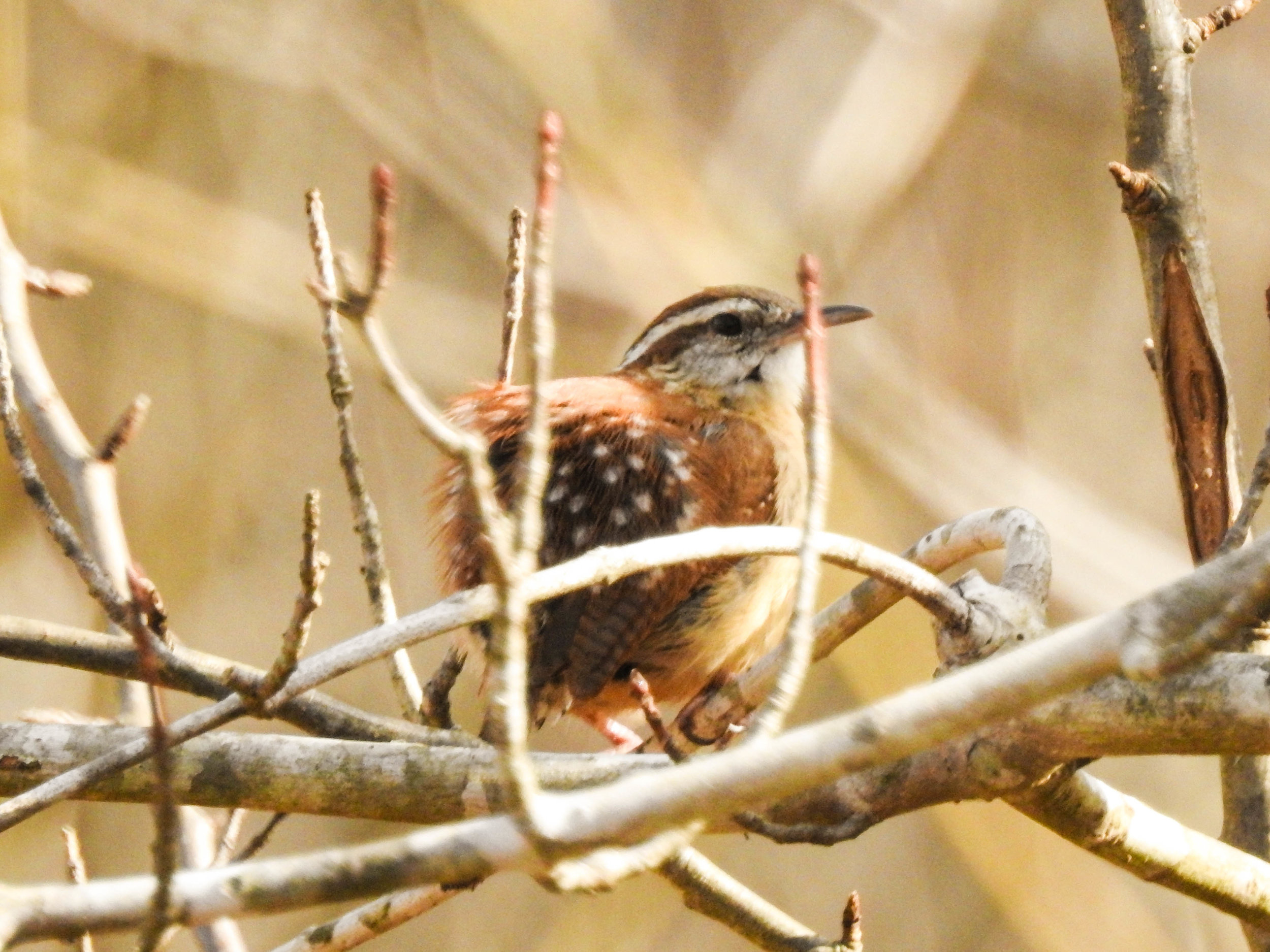 Carolina Wren, January 13, 2017