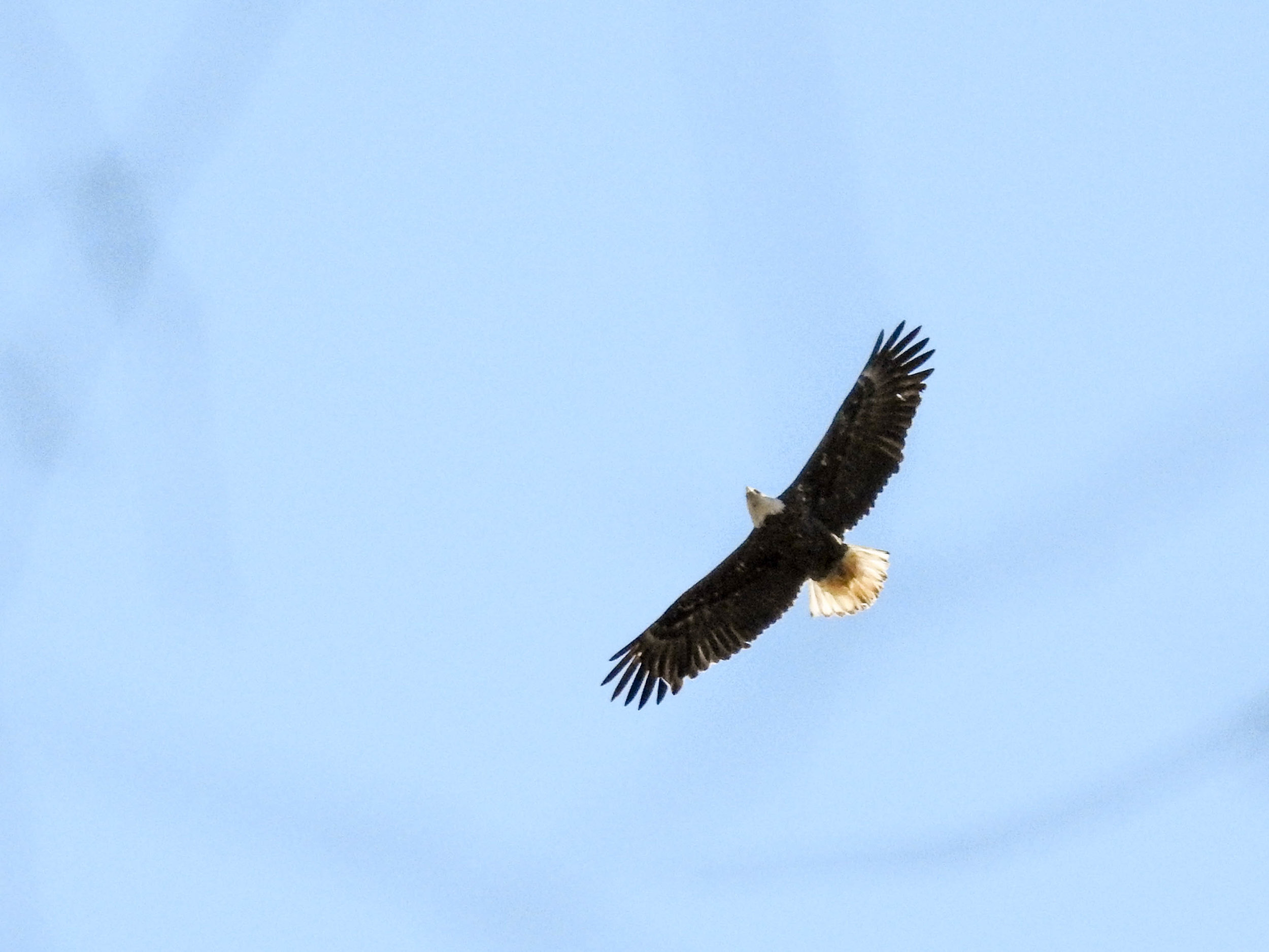 Bald Eagle, River Park, March 4, 2017