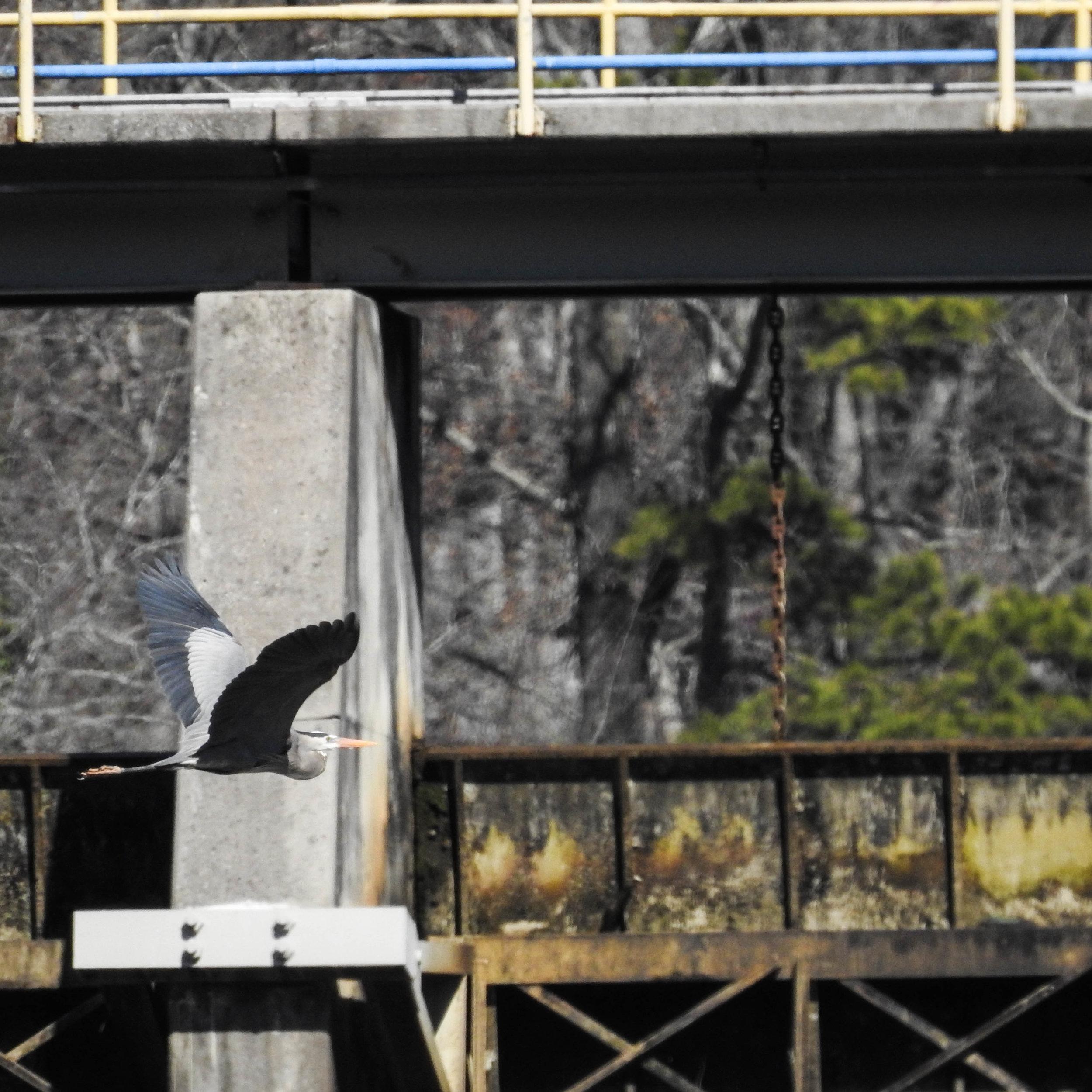 Great Blue Heron at Morgan Falls Dam, River Park, March 4, 2017