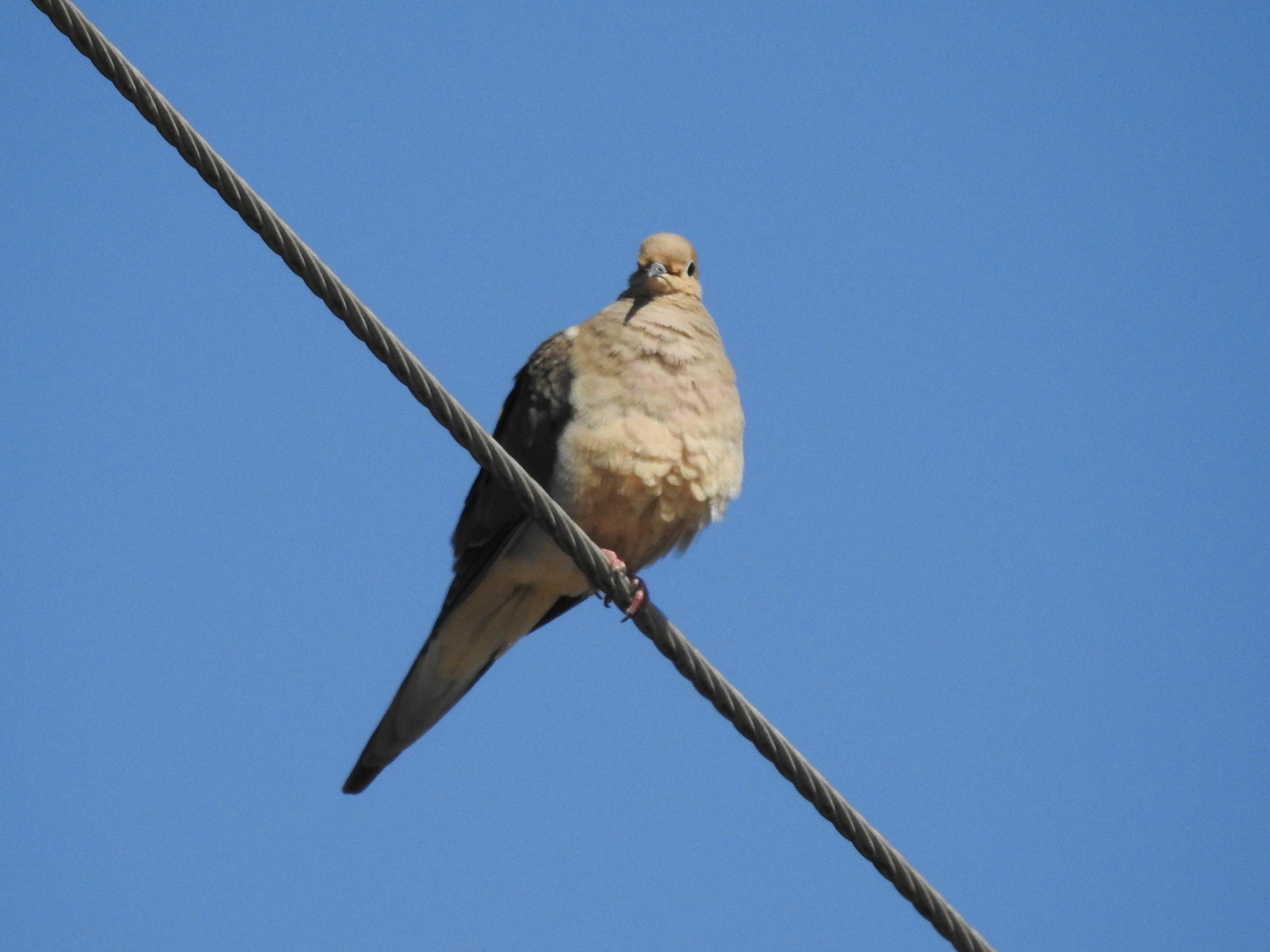 Mourning Dove, March 4, 2017