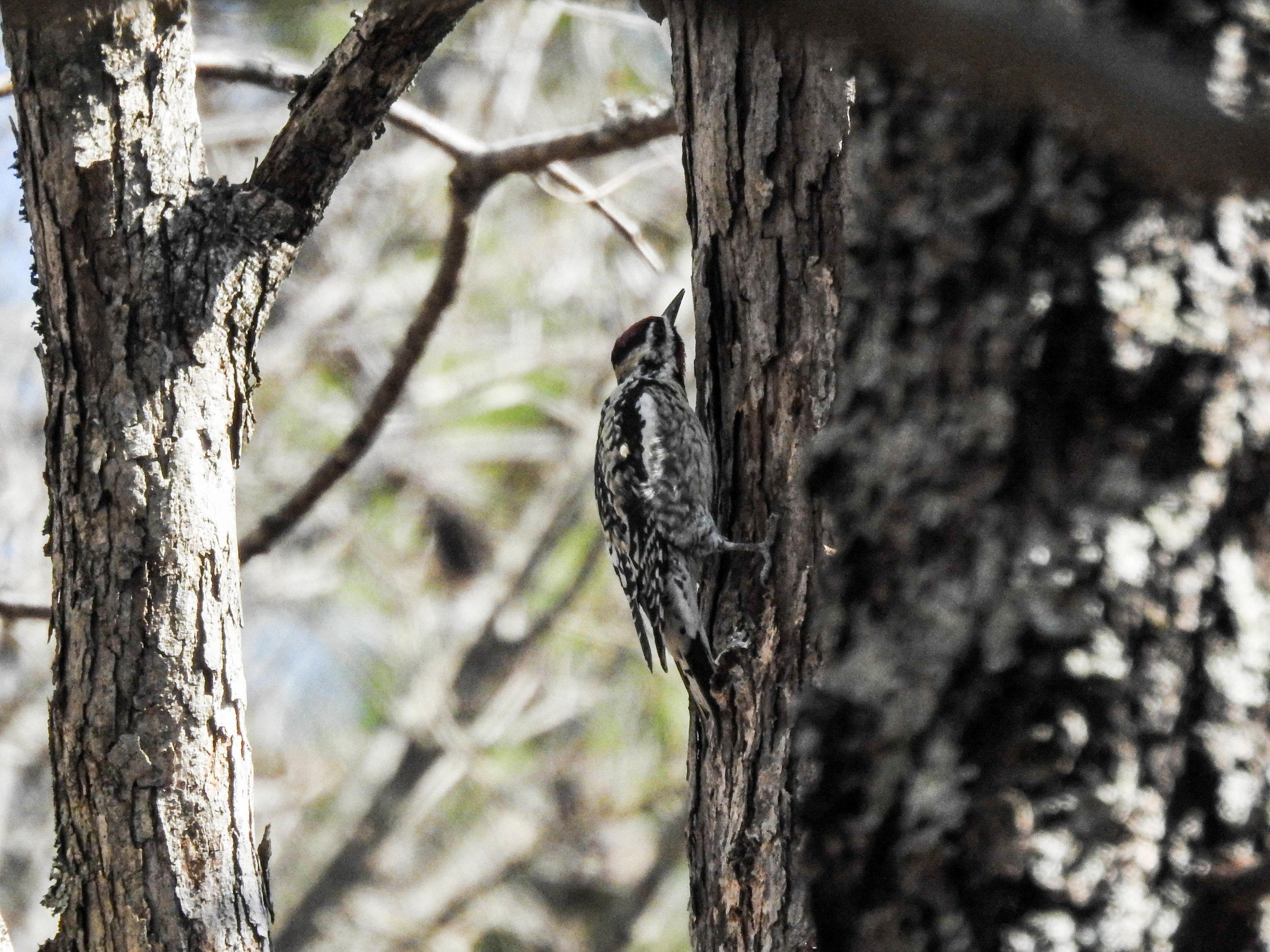 Yellow-bellied Sapsucker, March 4, 2017