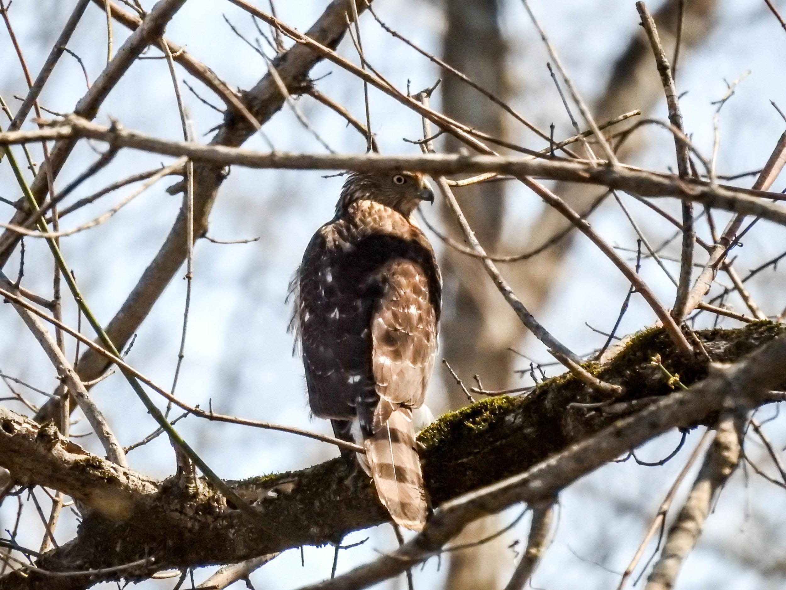Cooper's Hawk, March 4, 2017