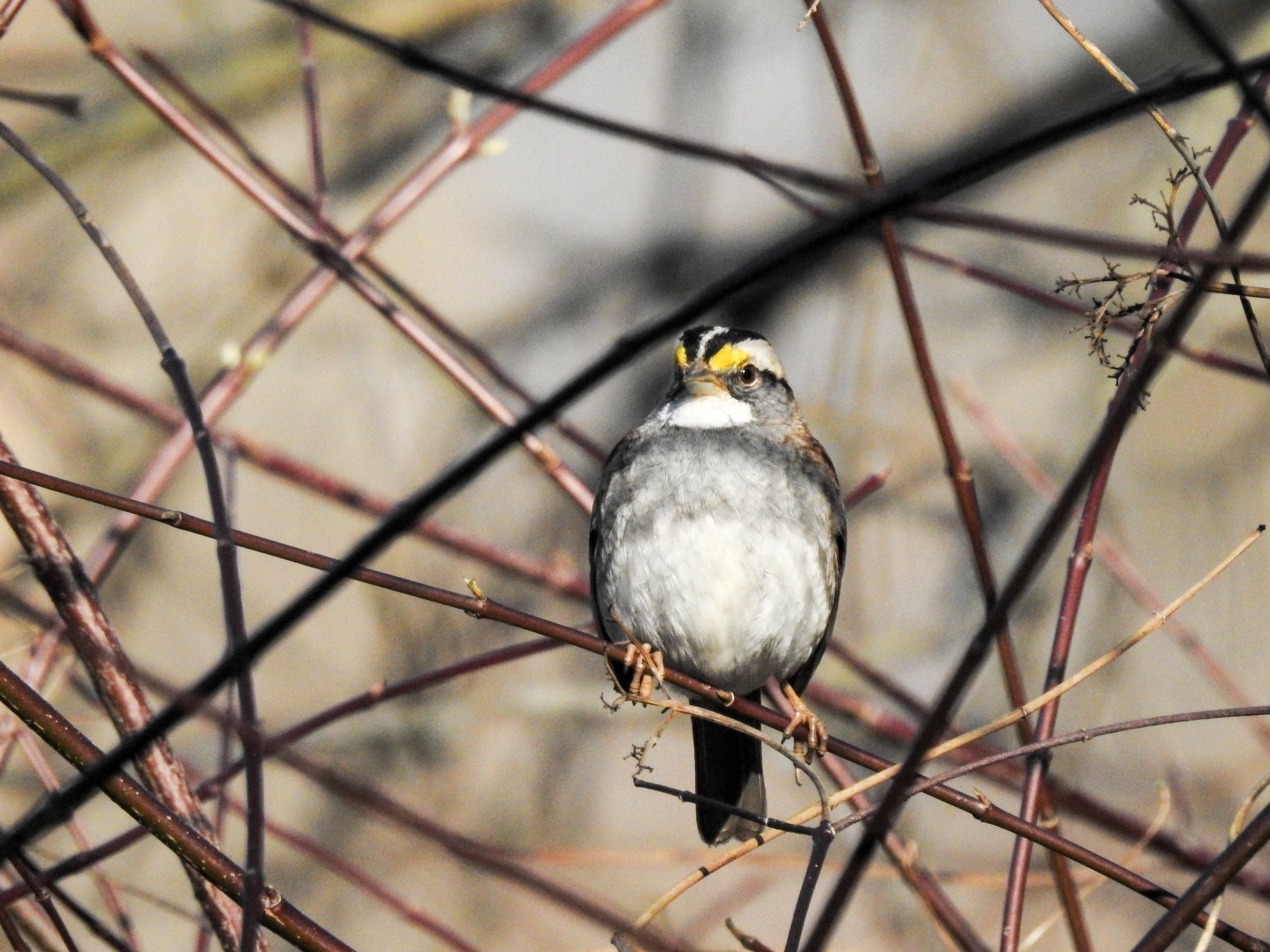 White-throated Sparrow, February 26, 2017