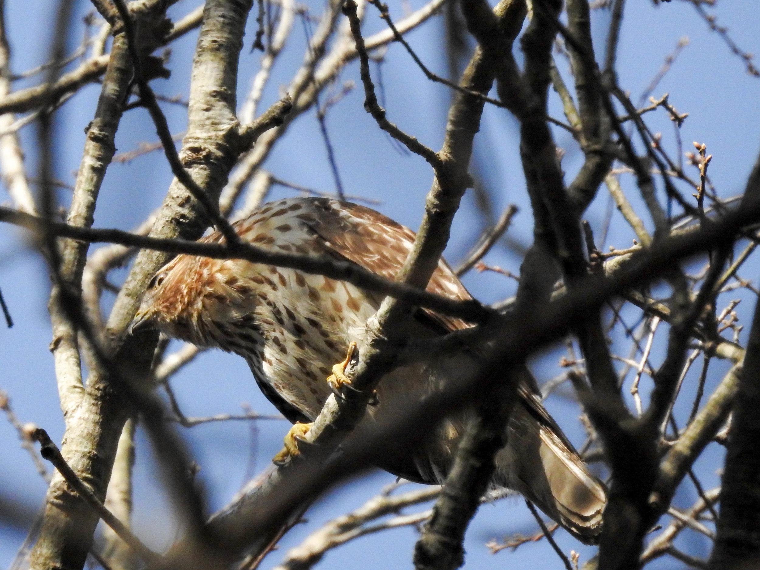 Cooper's Hawk, March 11, 2017