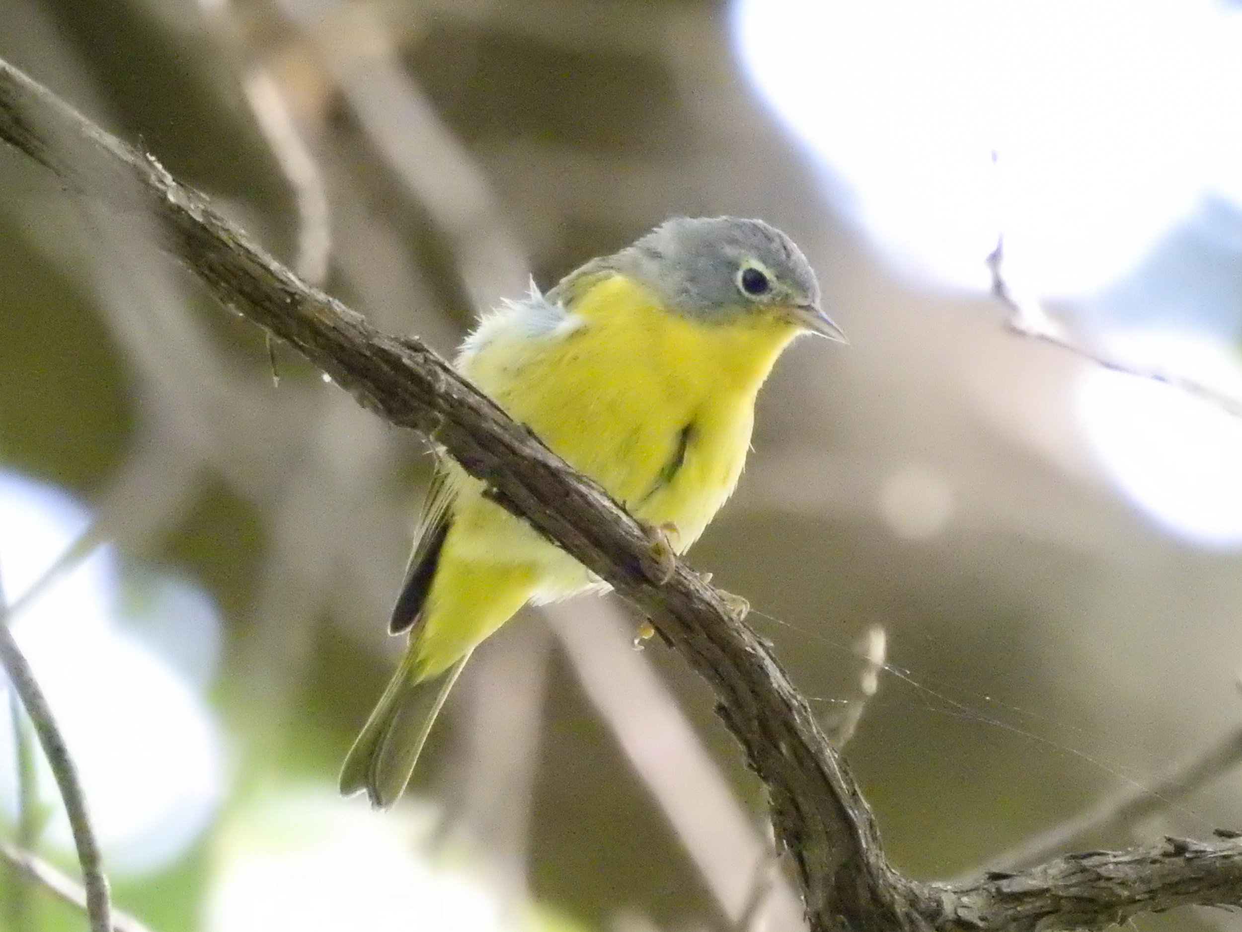 Nashville Warbler, April 16, 2017