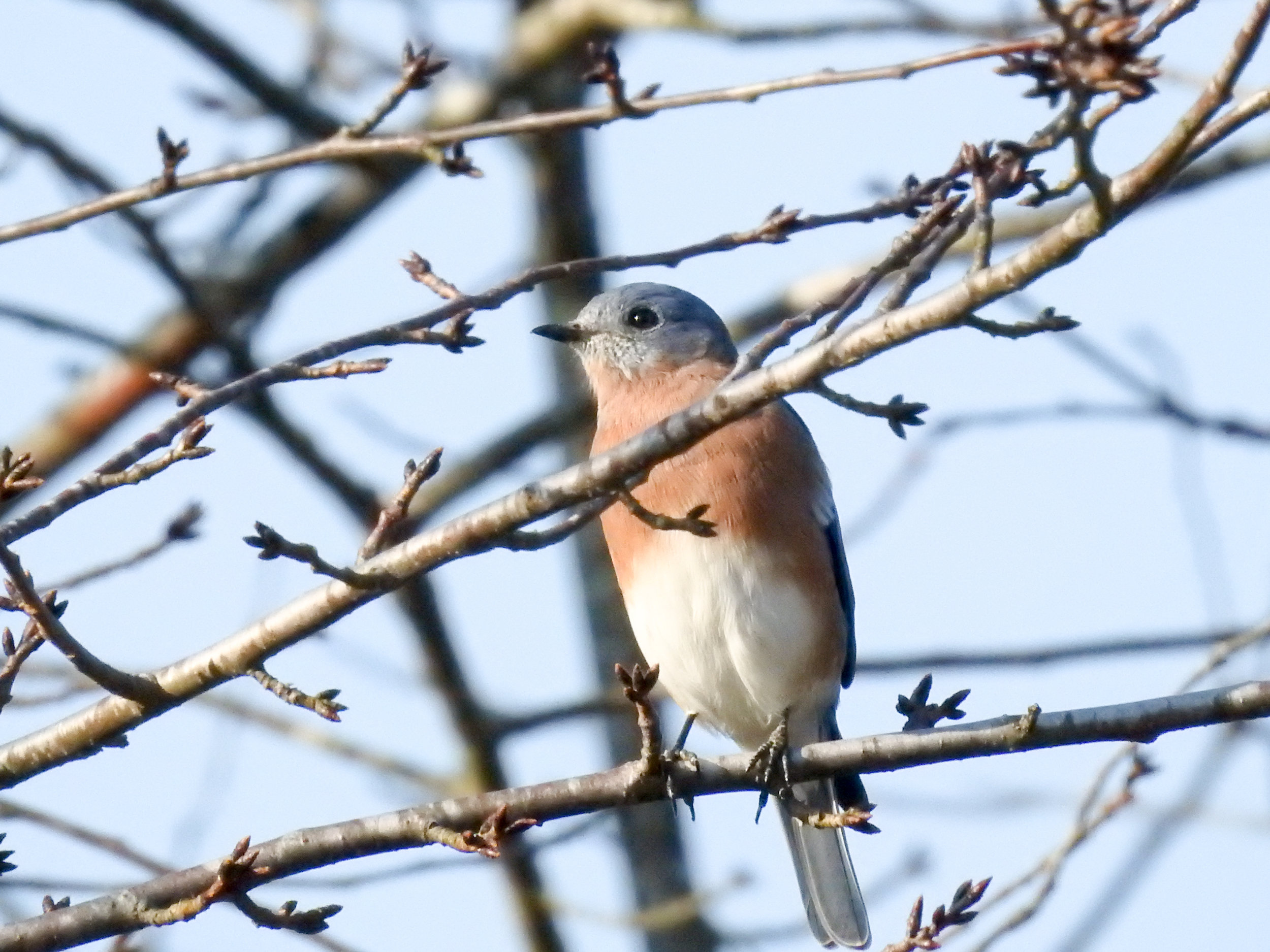 Eastern Bluebird, September 23, 2017