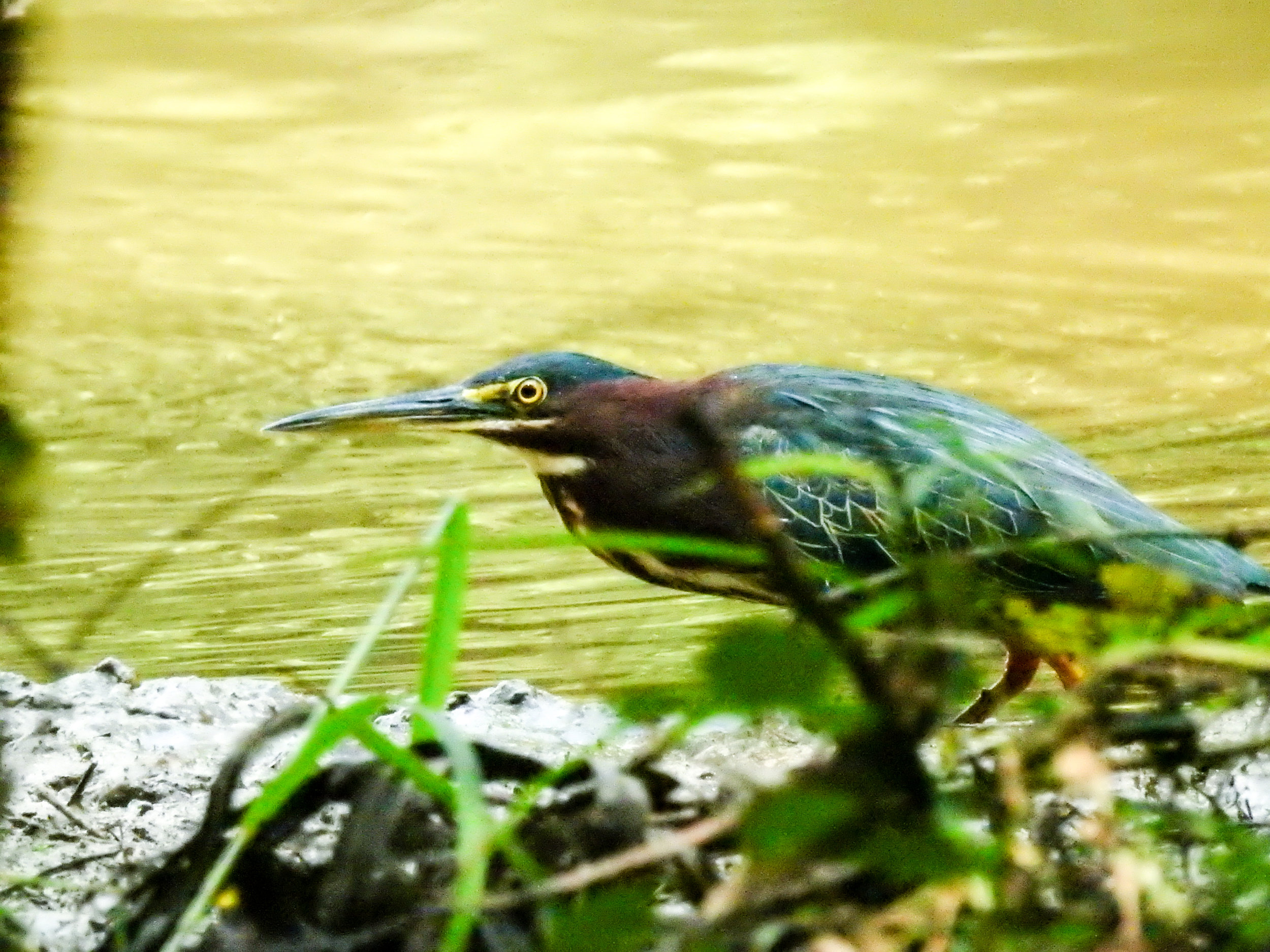 Green Heron, September 23, 2017