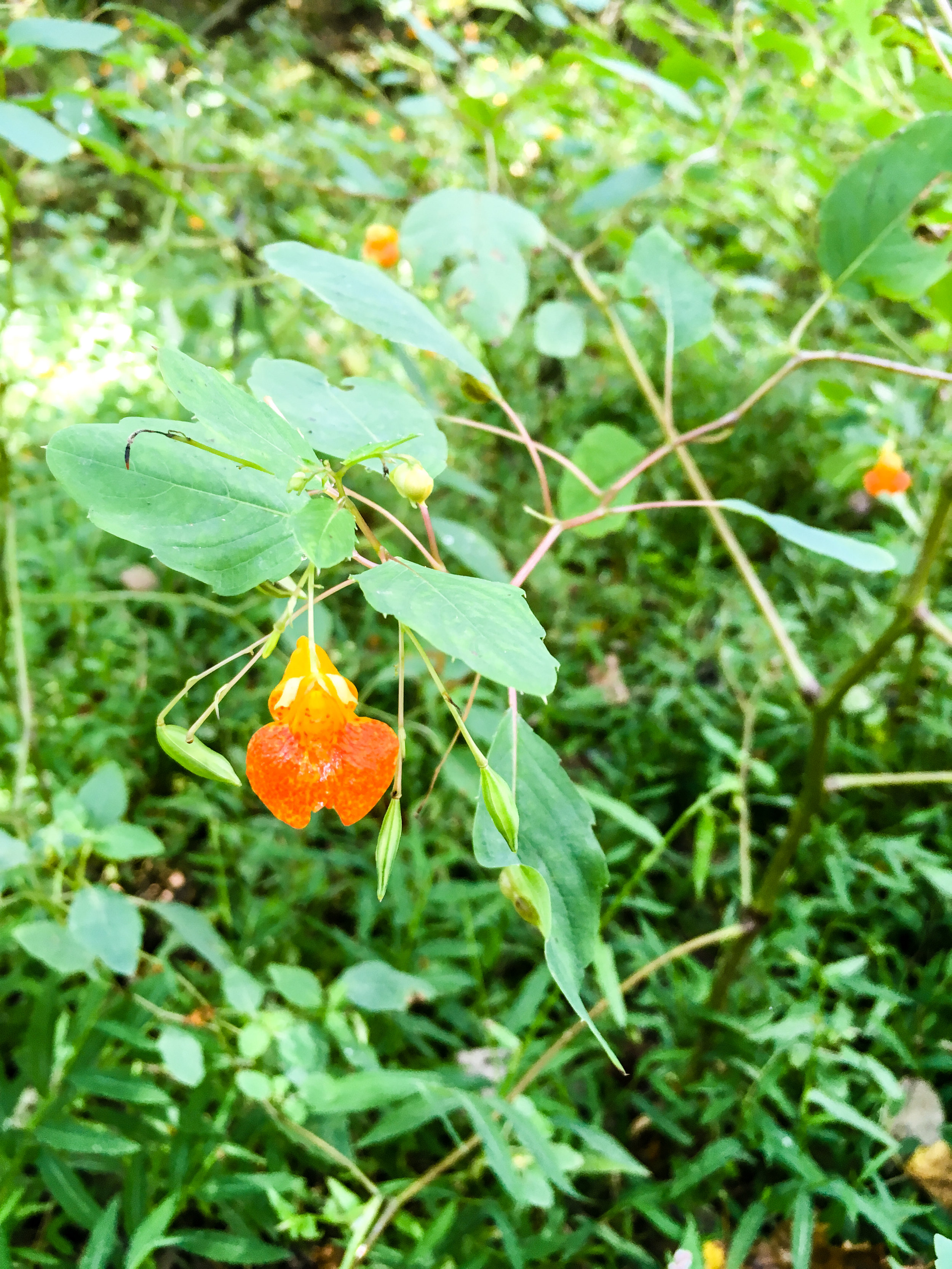 Jewelweed, September 23, 2017