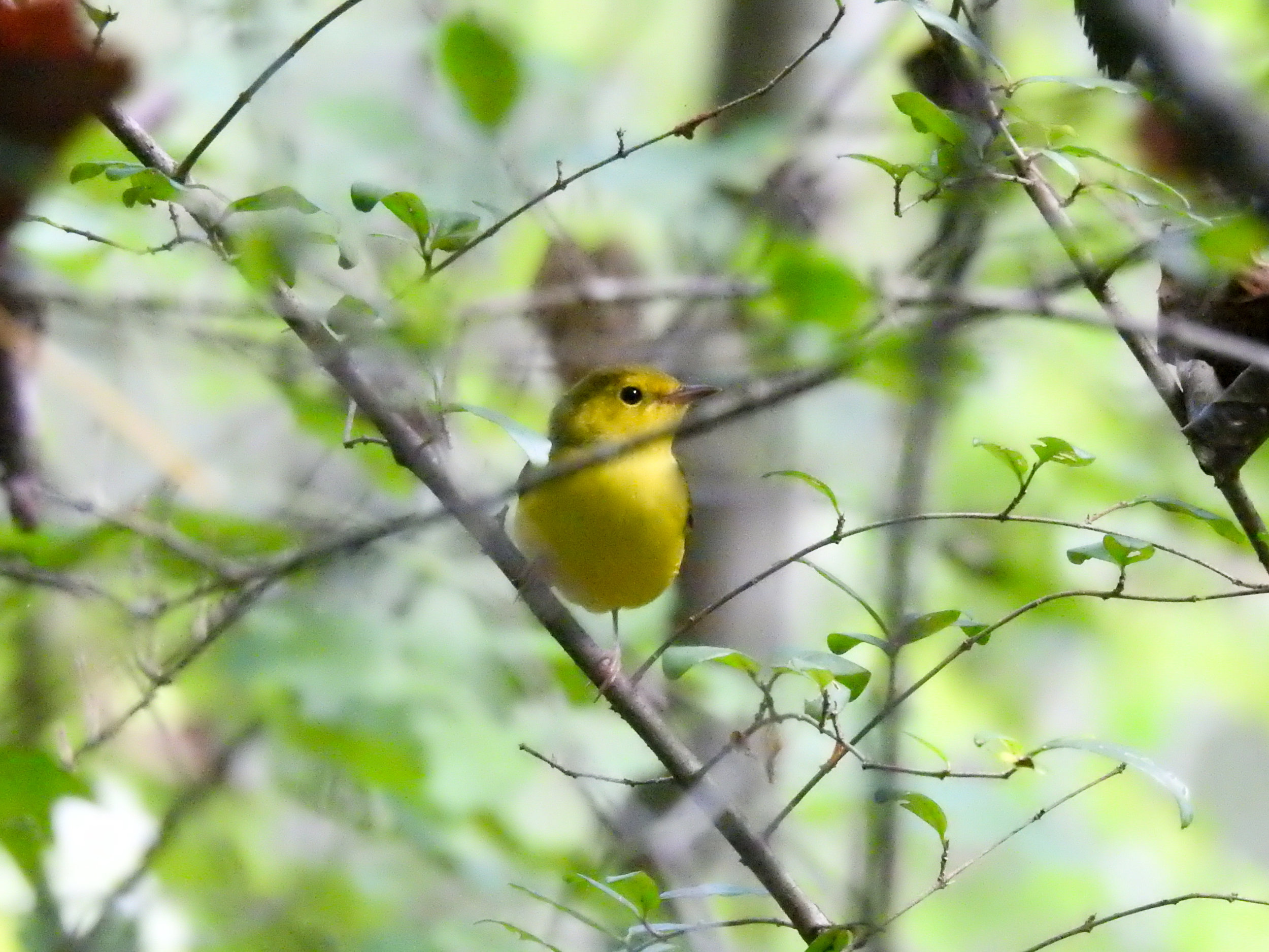 Hooded Warbler, September 23, 2017