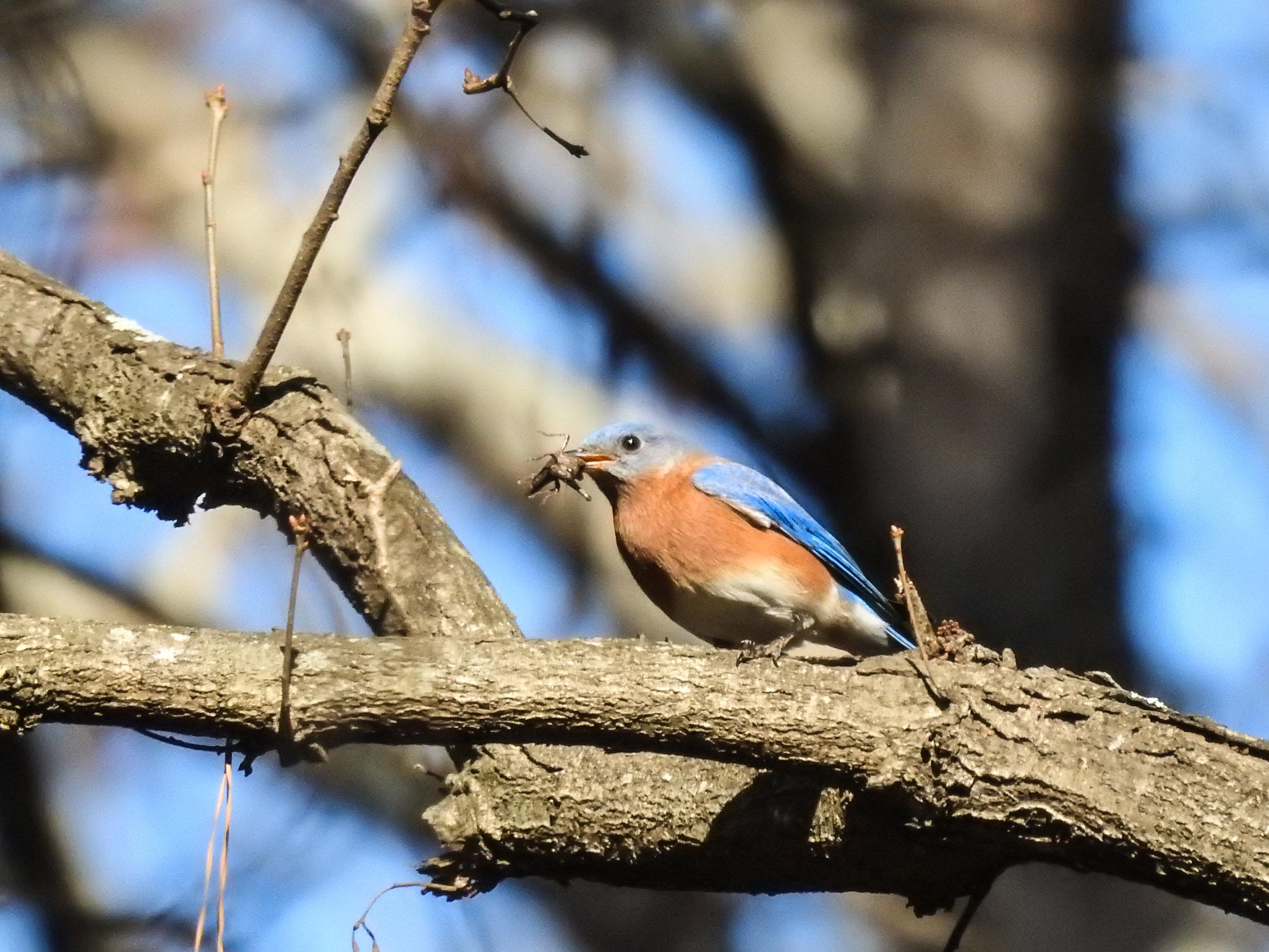 Eastern Bluebird, December 16, 2017