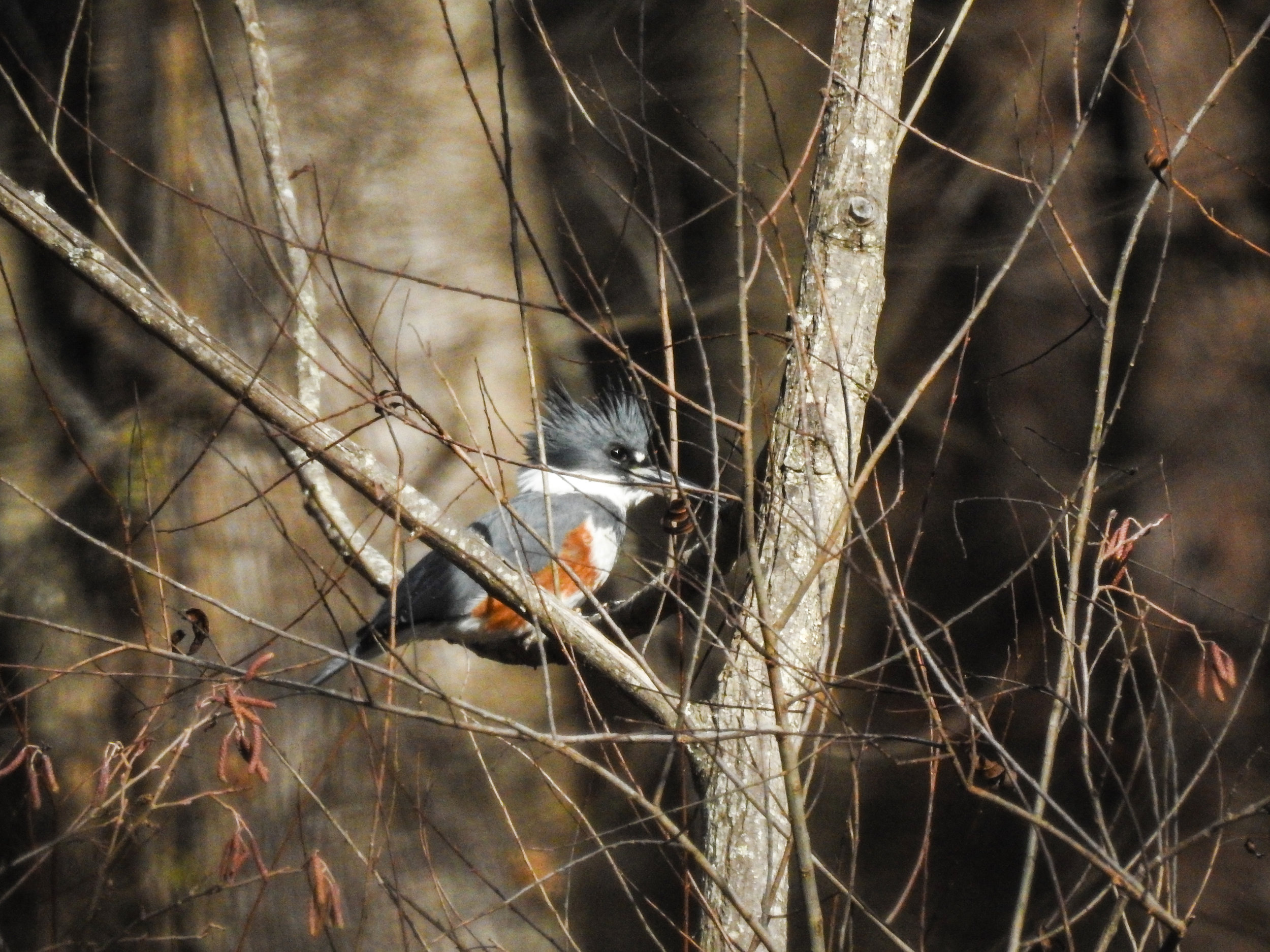 Belted Kingfisher, December 16, 2017