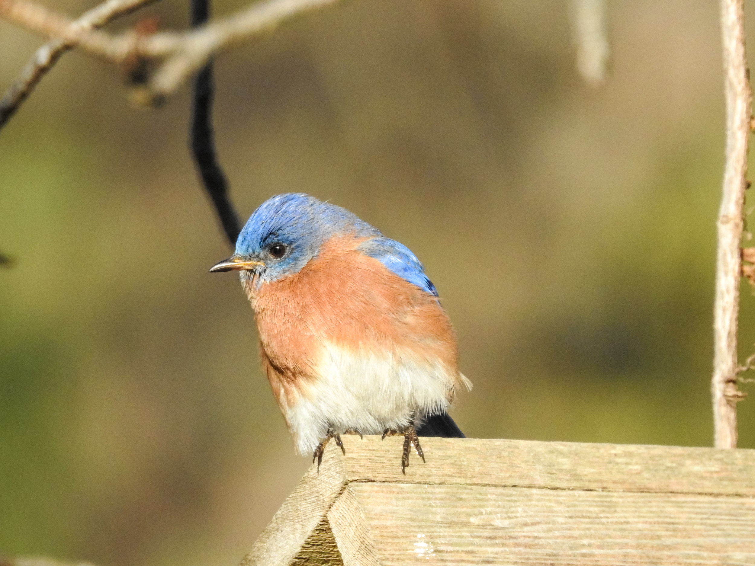 Eastern Bluebird, January 20, 2018