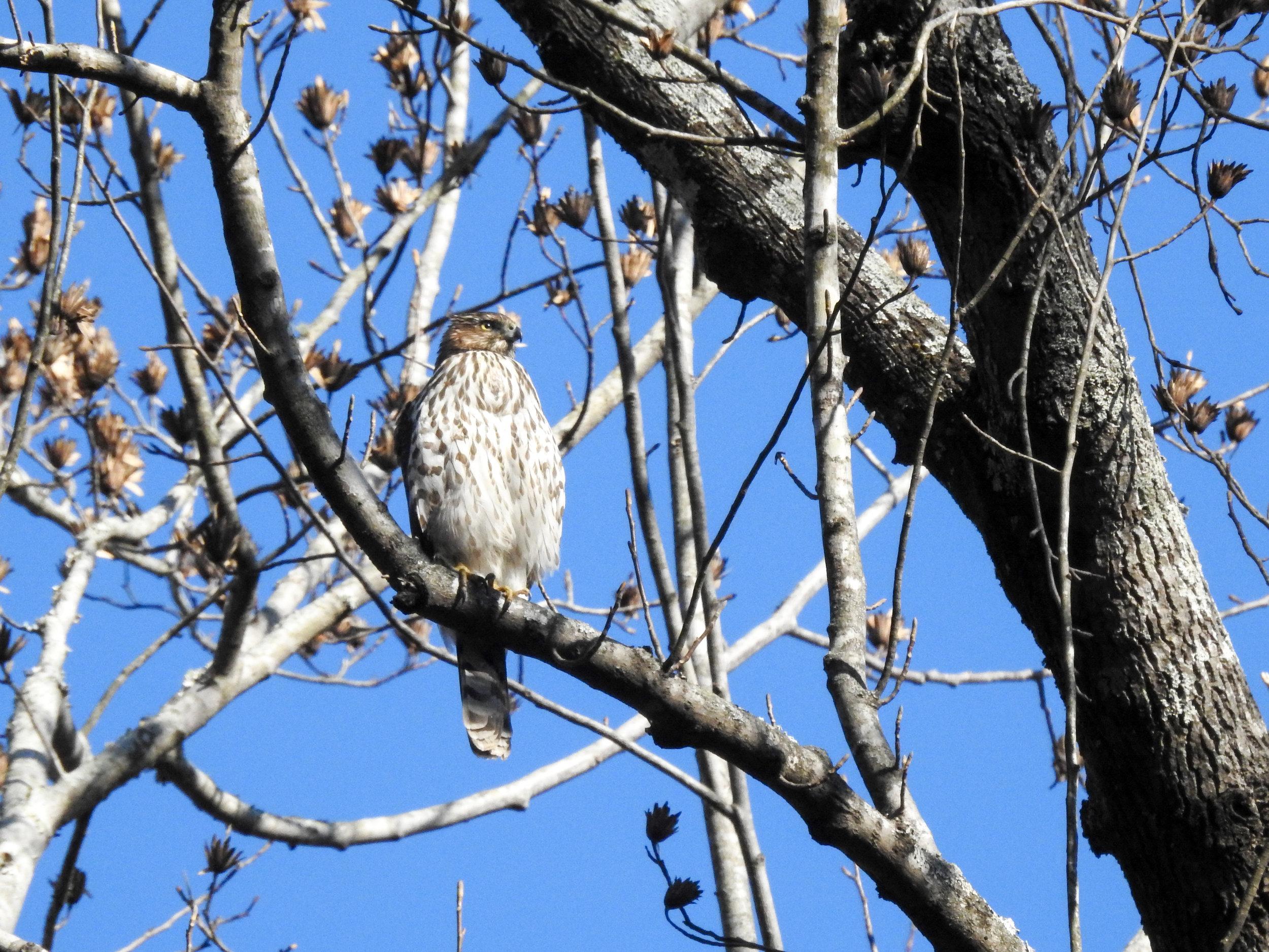 Cooper's Hawk, December 30, 2017