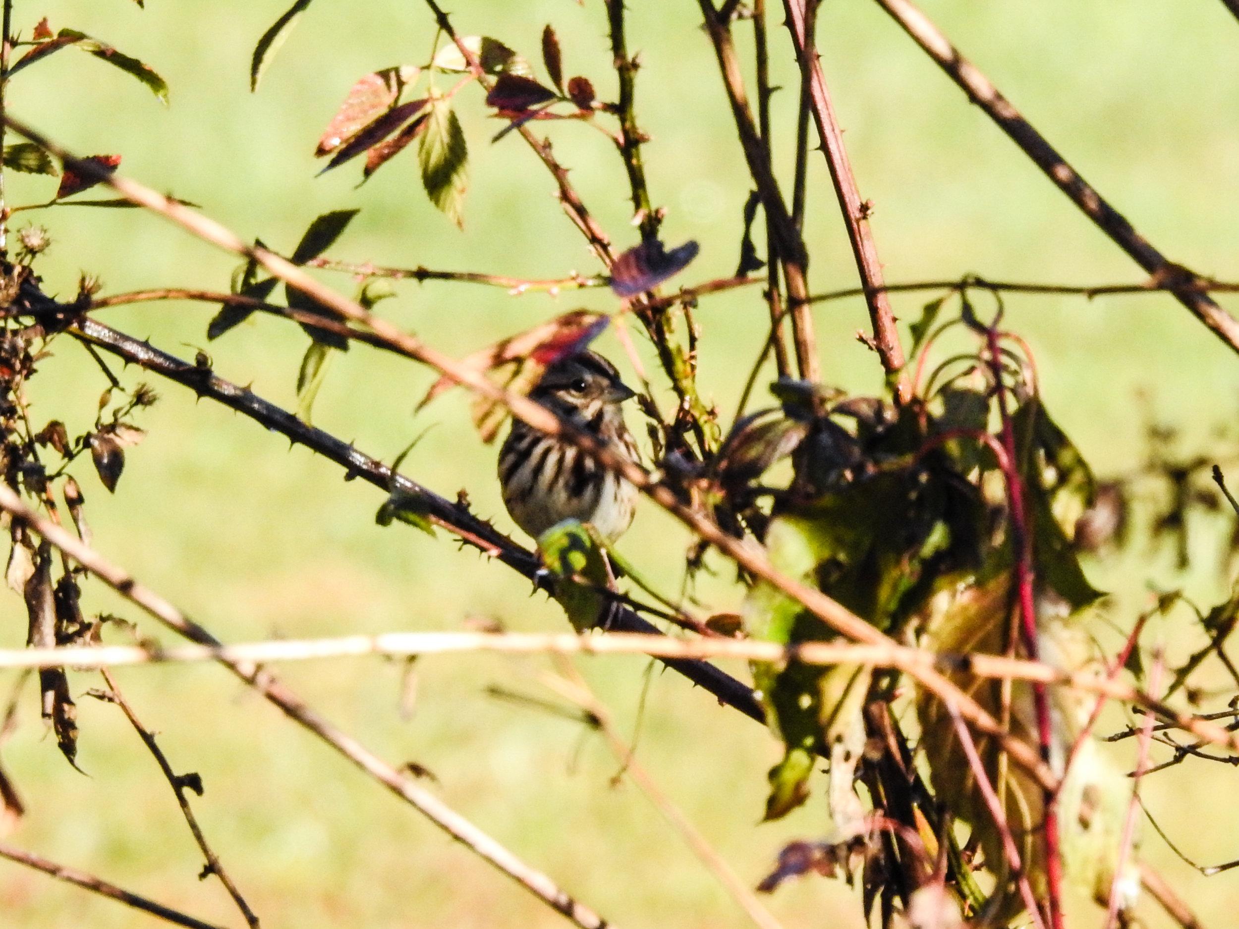 Song Sparrow, November 24, 2017