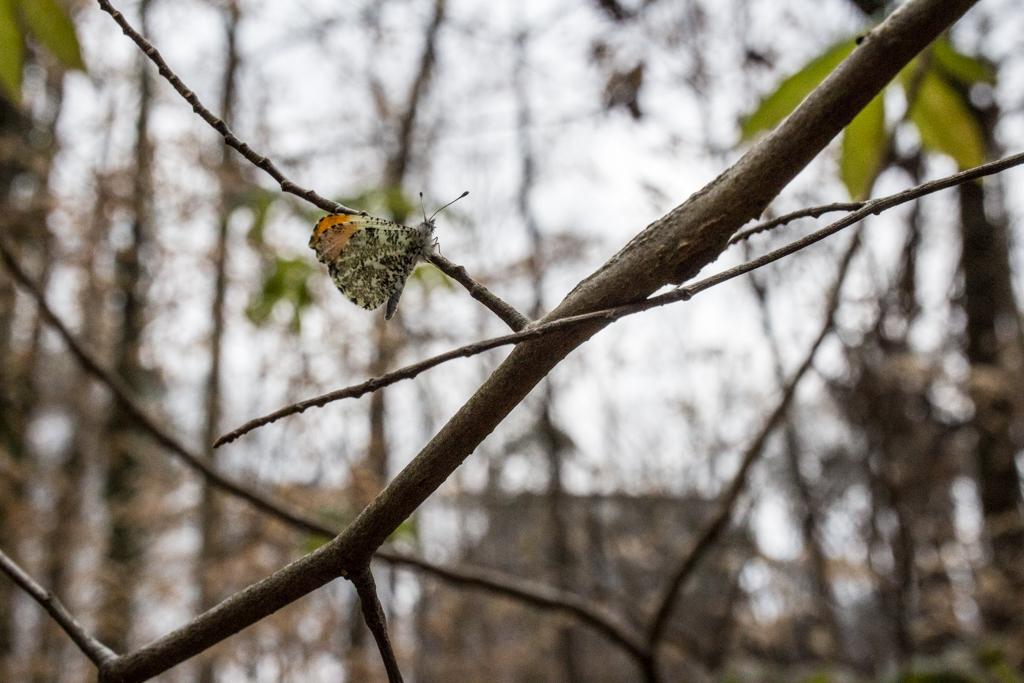 Falcate Orangetip butterfly, March 10, 2018