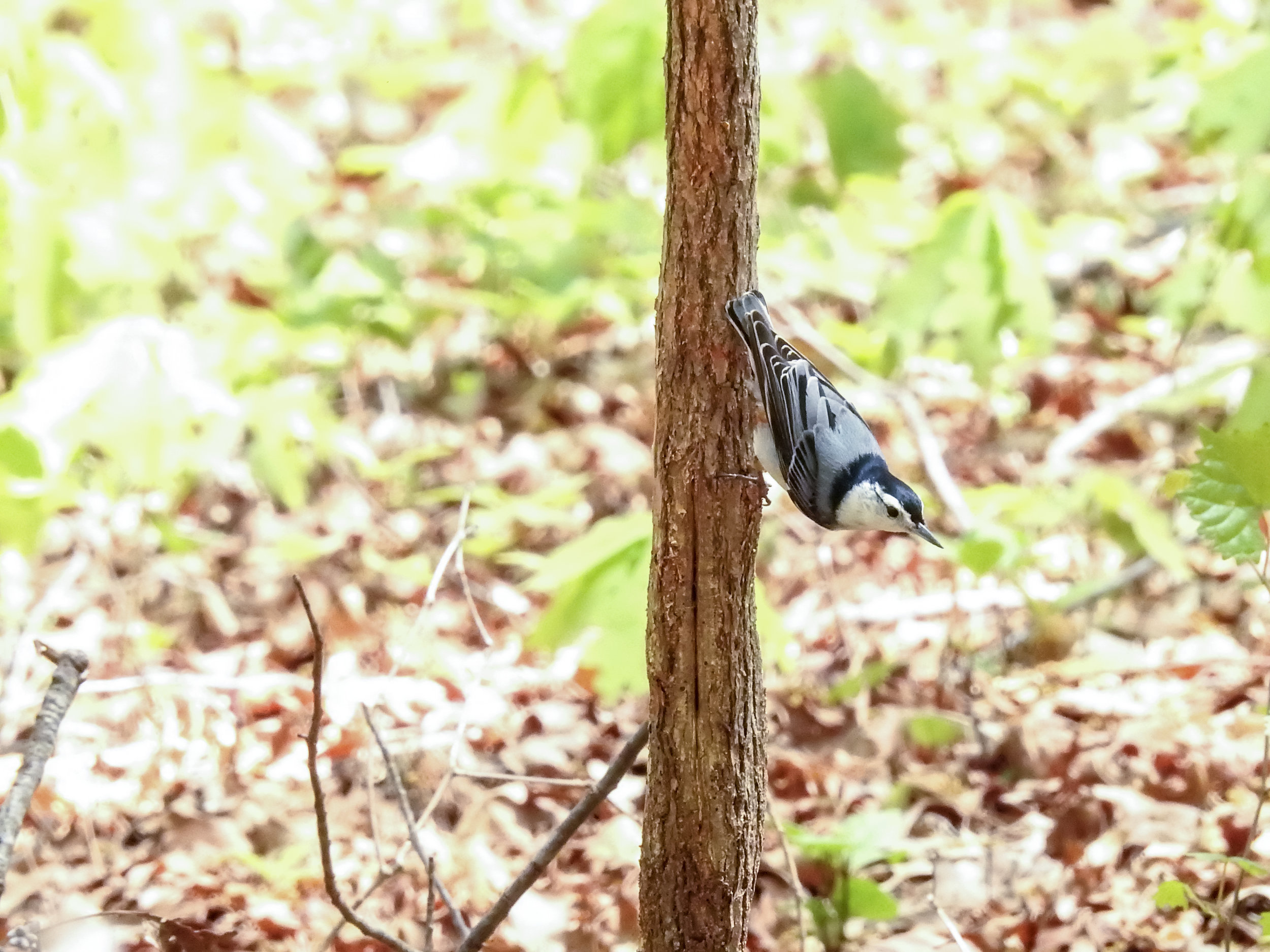 White-Breasted Nuthatch, April 14, 2018