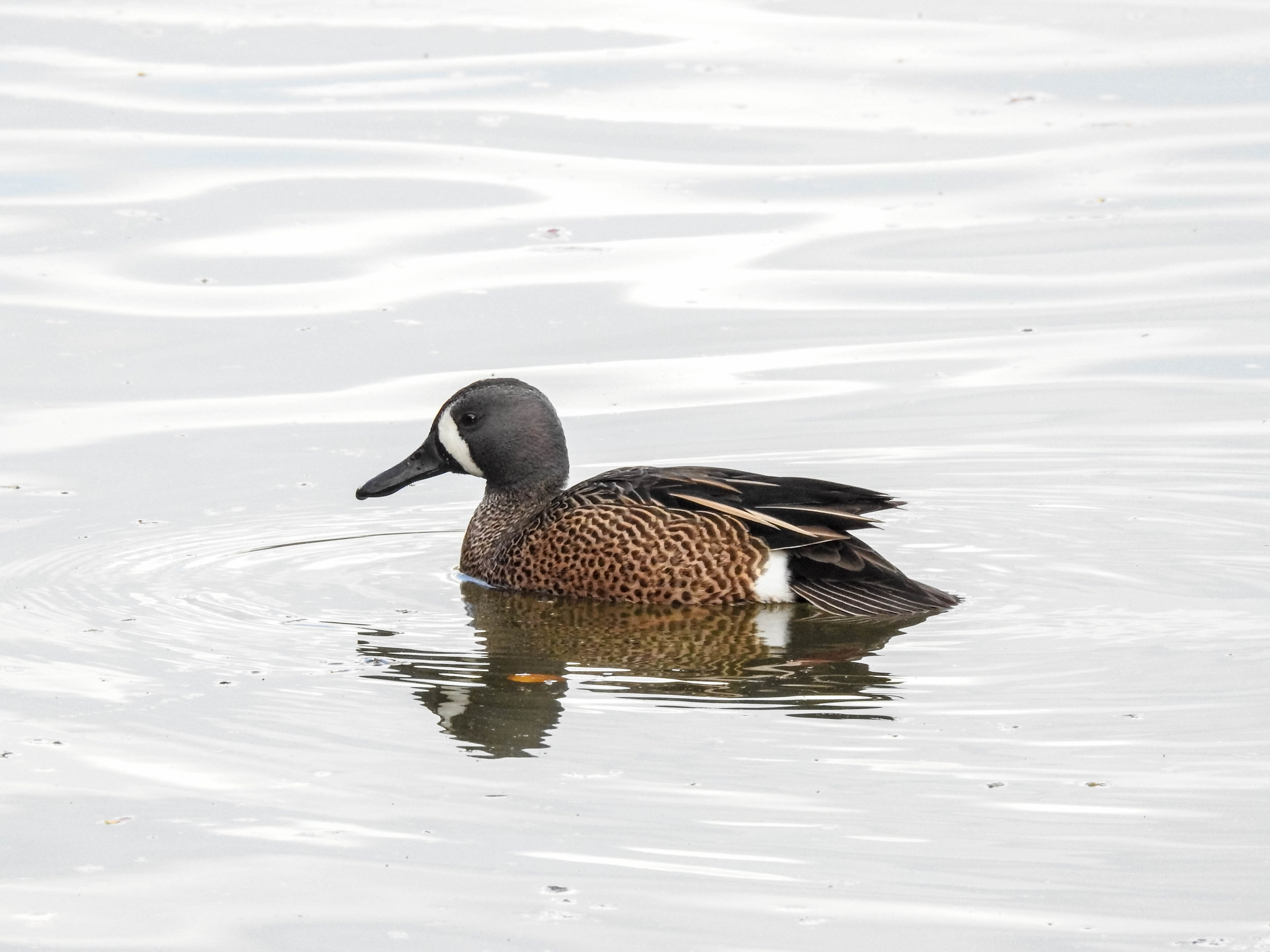 Blue-winged Teal, male