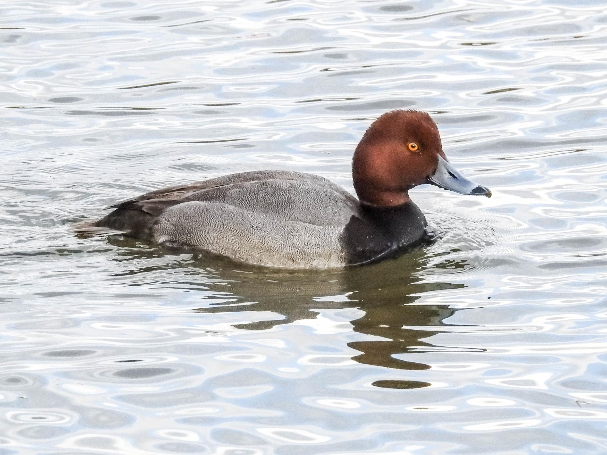 Redhead, male