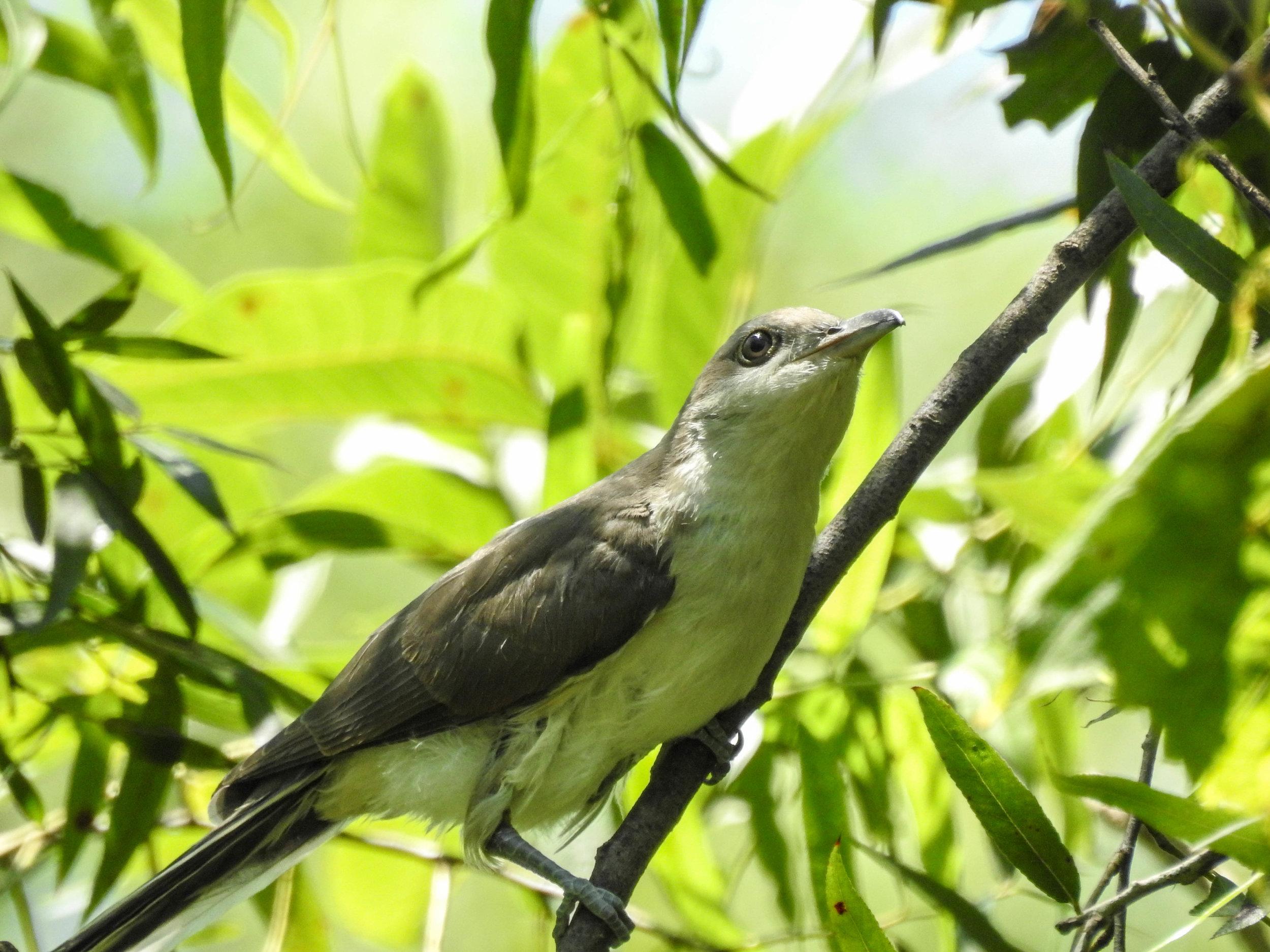 Yellow-billed Cuckoo, immature